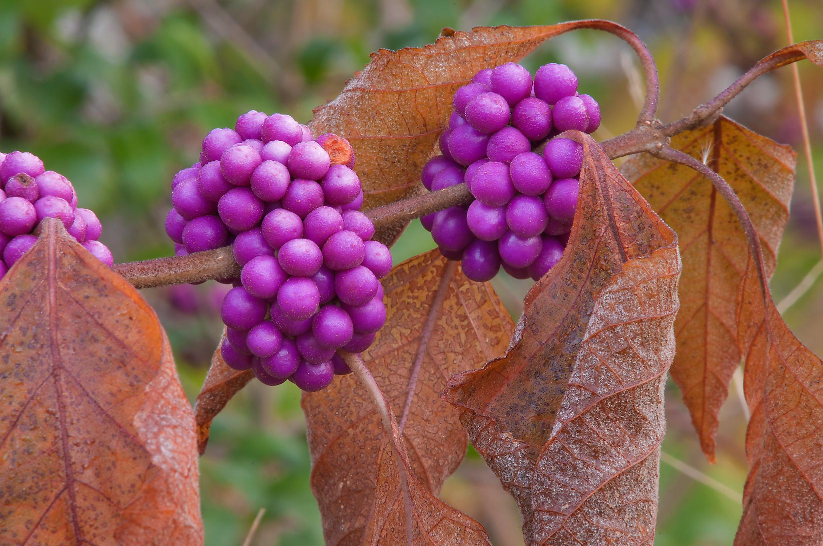 Beautyberry (Callicarpa americana) with freeze in Lick Creek Park. College Station, Texas