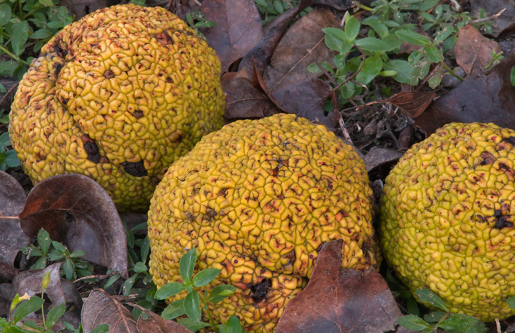 Horse apples (osage orange) near a pond in...State Historic Site. Washington, Texas