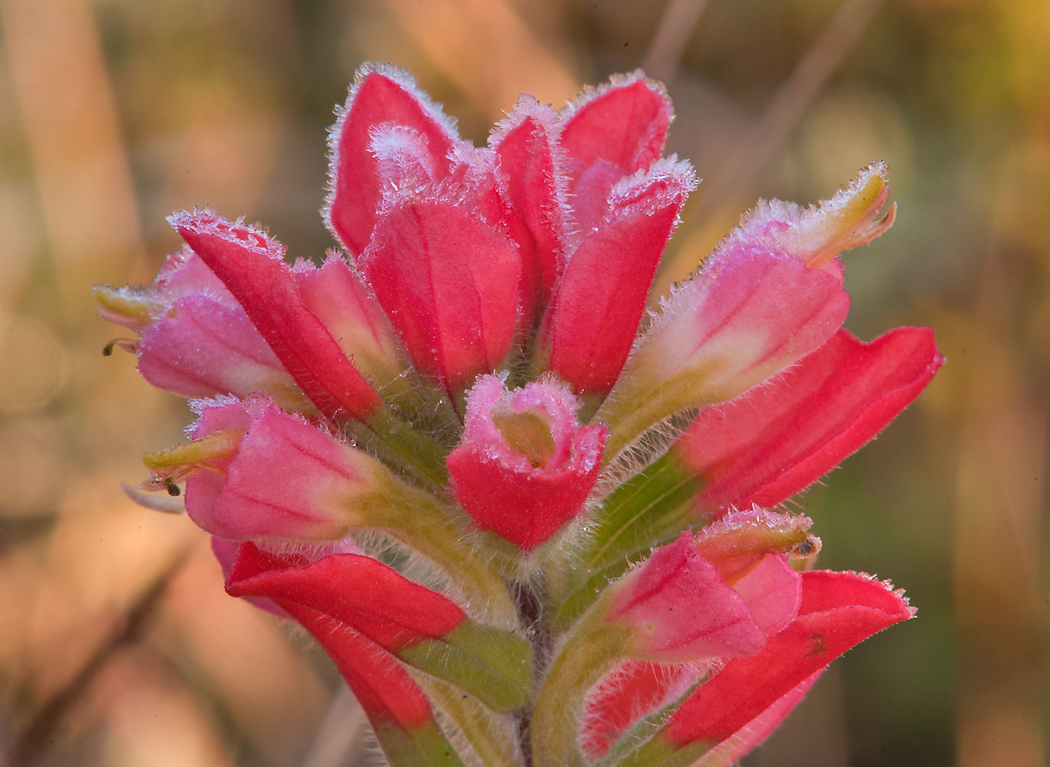 Late blooming Indian paintbrush (Castilleja...State Historic Site. Washington, Texas