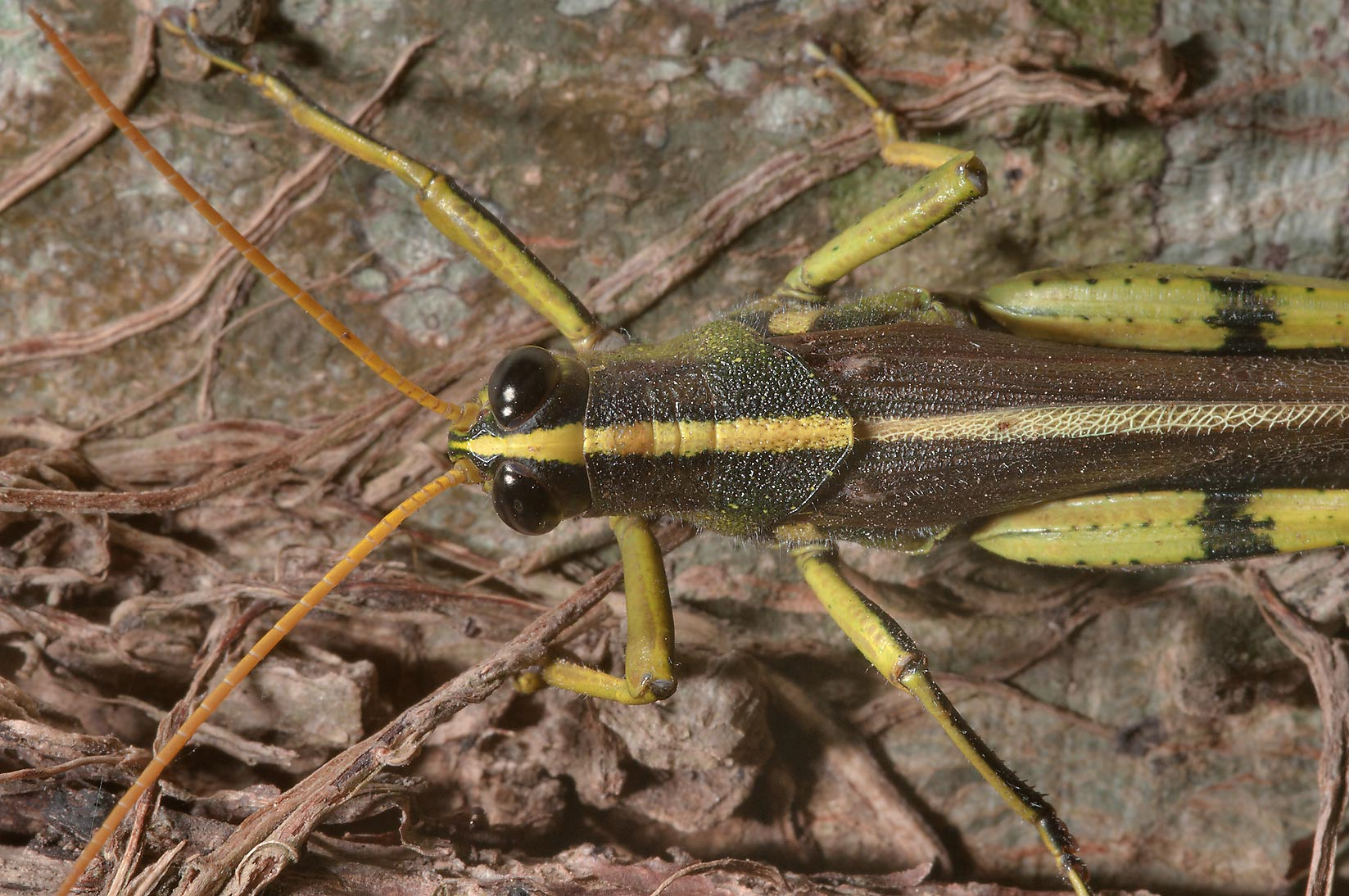 Close up of a grasshopper on a tree trunk in...State Historic Site. Washington, Texas