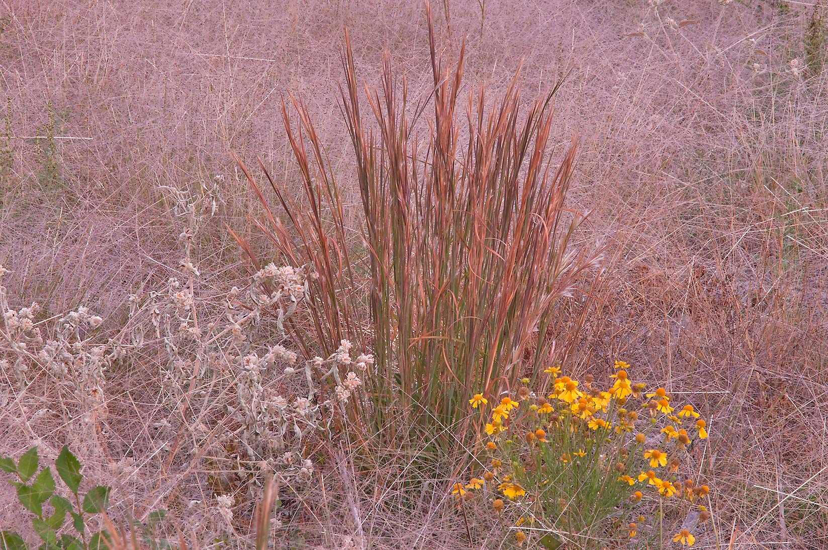 Bluestem grass and sneezeweed on utility cutting in Lake Bryan Park. Bryan, Texas