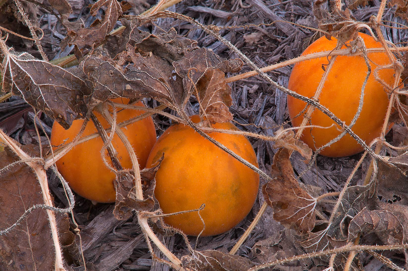 Orange fruits of wild muskmelon (Cucumis melo...in Lake Bryan Park. Bryan, Texas