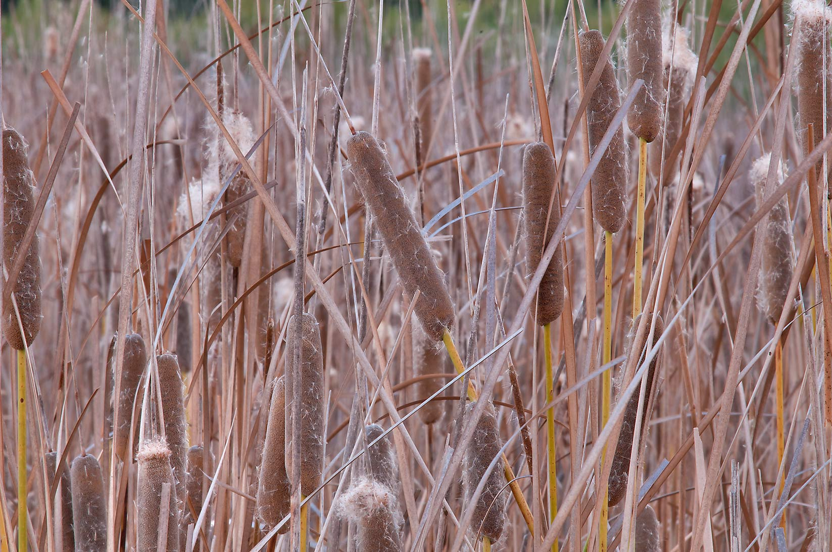Cattails (typha) in Lake Bryan Park. Bryan, Texas