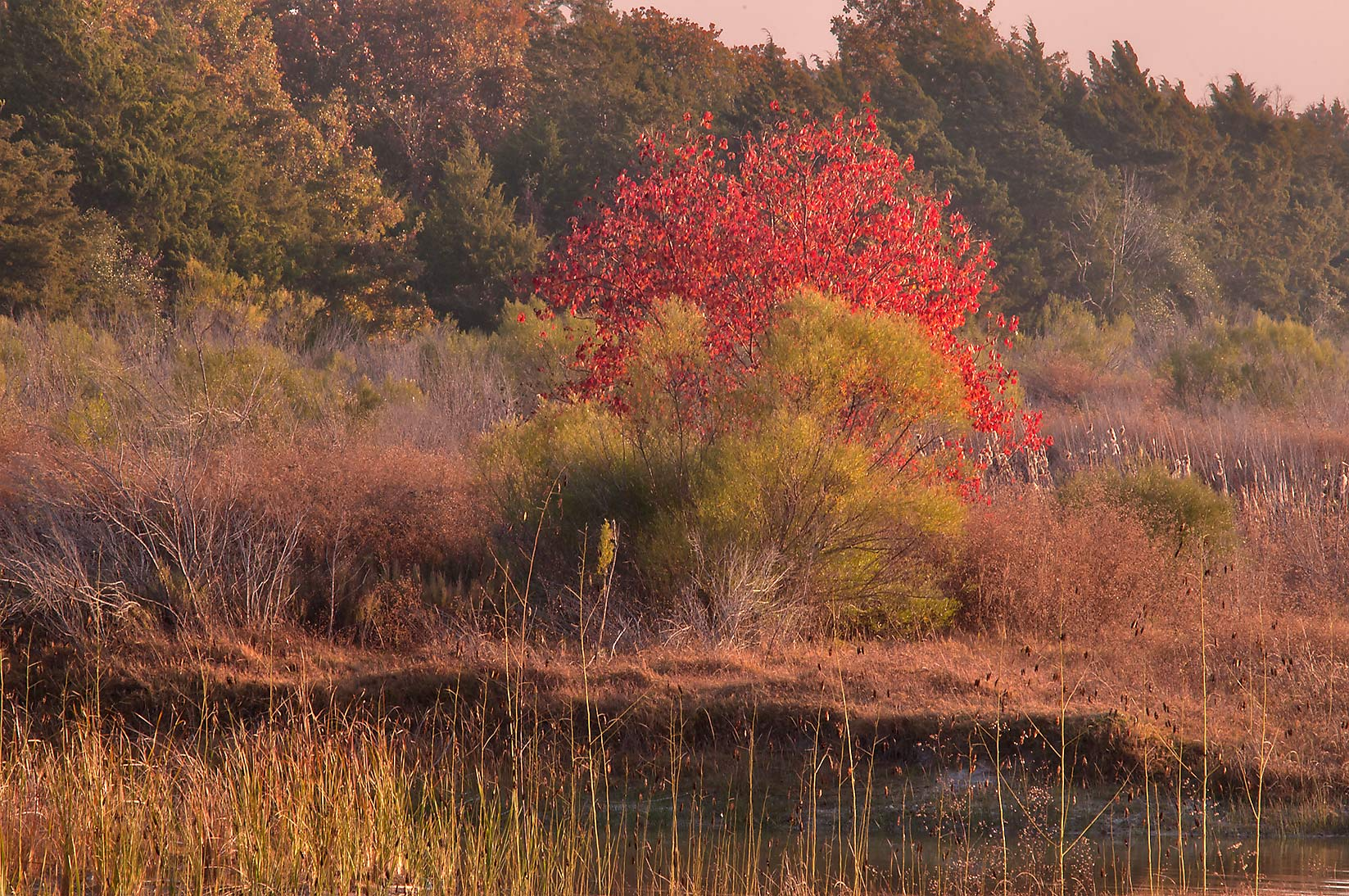 Red fall foliage of Chinese tallow (Sapium...shore in Lake Bryan Park. Bryan, Texas