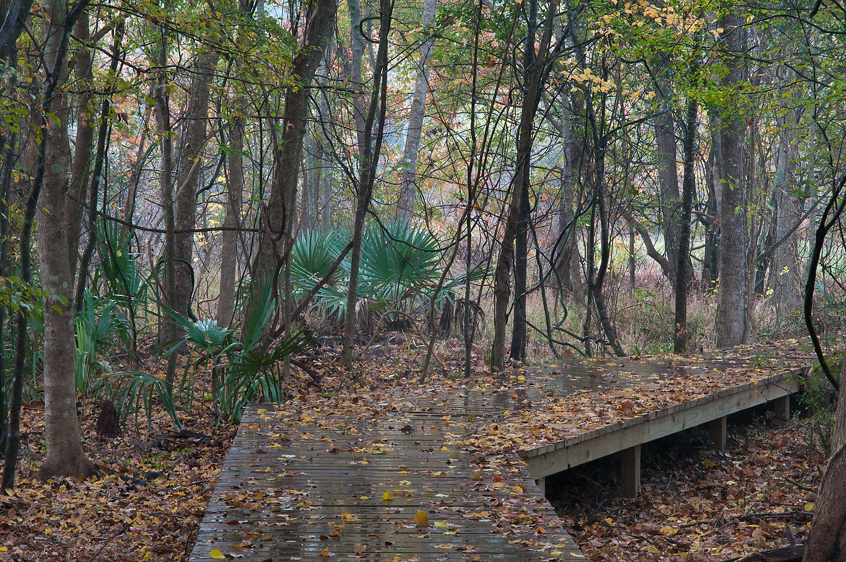 Boardwalk of Chinquapin Trail across Alligator...Huntsville State Park at rain. Texas