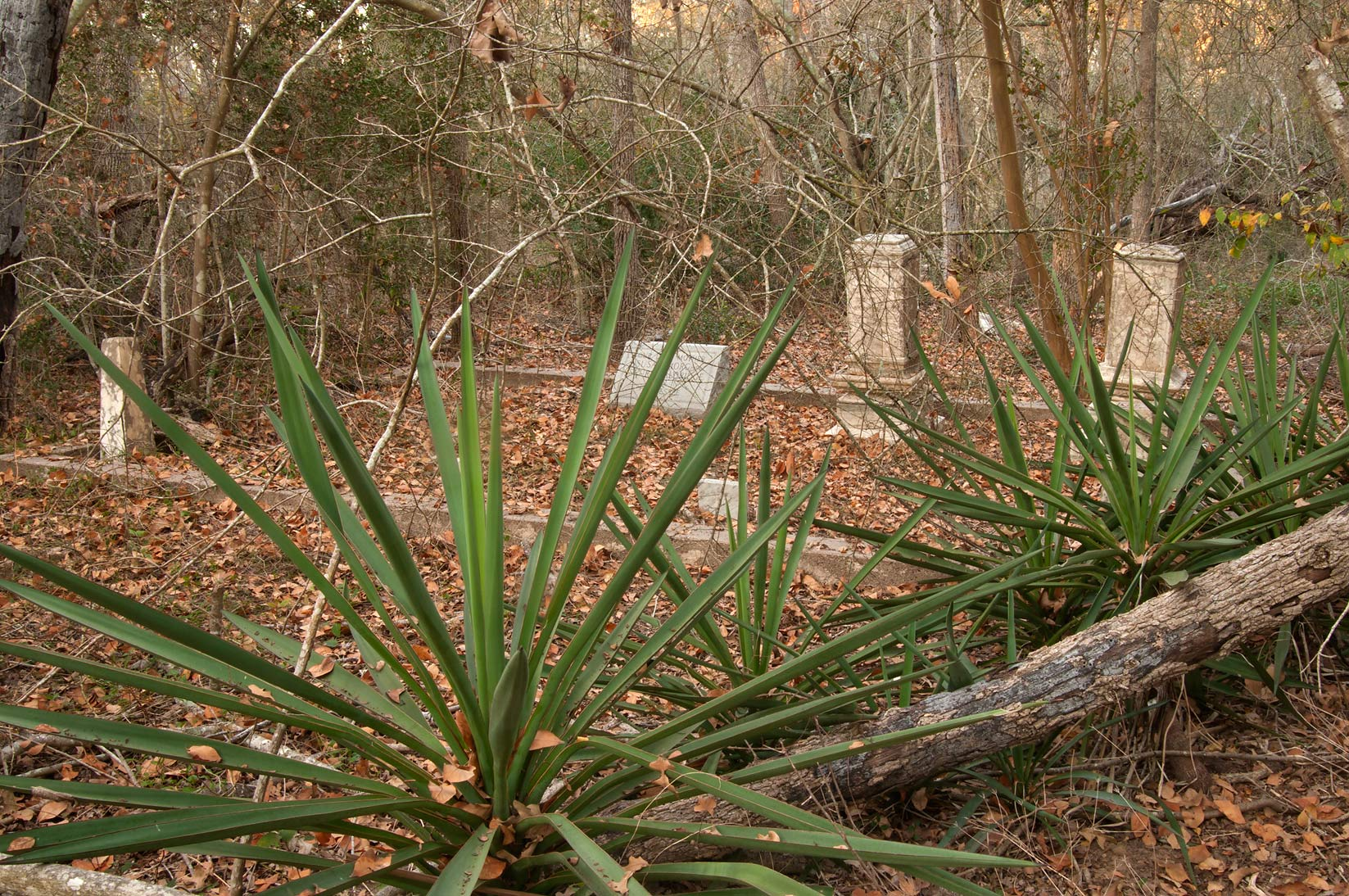 Undiscovered section of Washington Cemetery overgrown by jungles. Washington, Texas