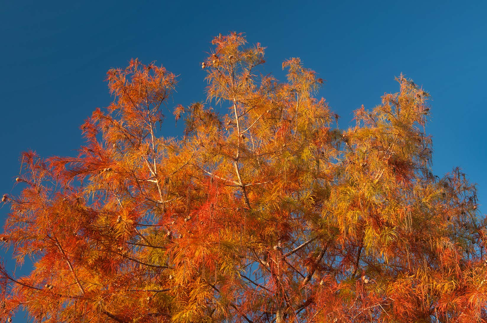 Fall colors of swamp cypress of Research Park on...M University. College Station, Texas