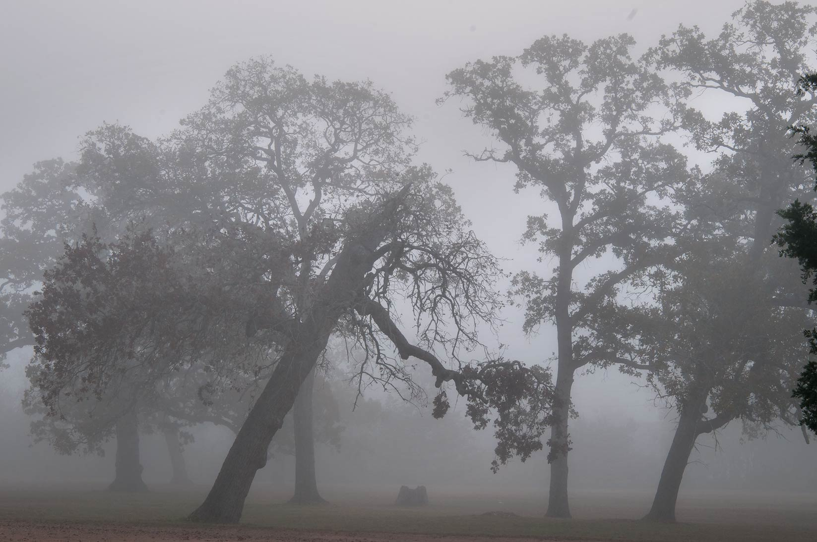 Oaks of Boonville Cemetery in fog. Bryan, Texas