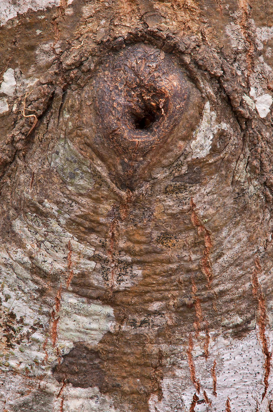 Gnarl of water oak in Lick Creek Park. College Station, Texas