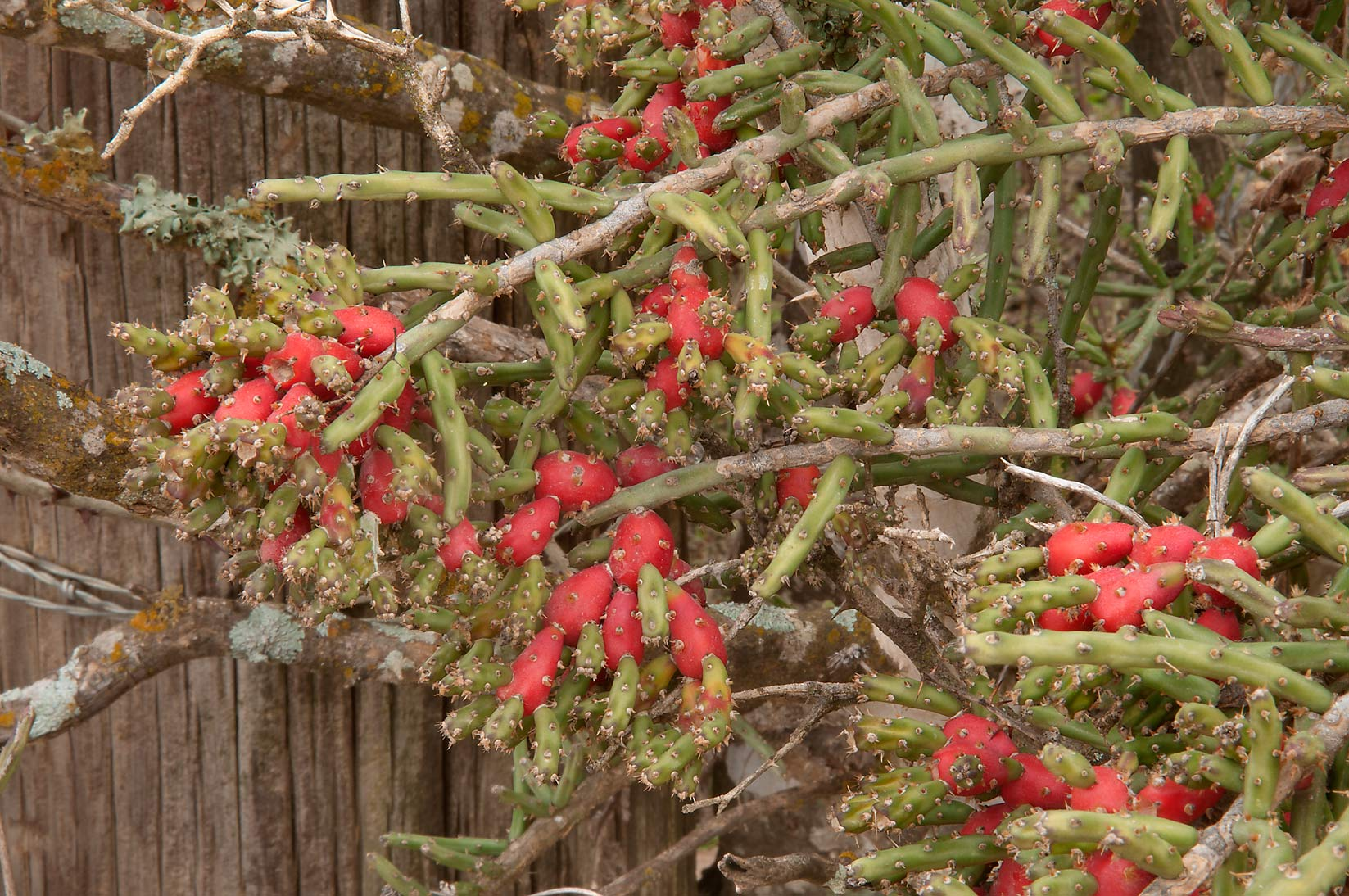 Christmas cactus (Tasajillo, Cylindropuntia...at Rd. 322 south from Milano. Texas