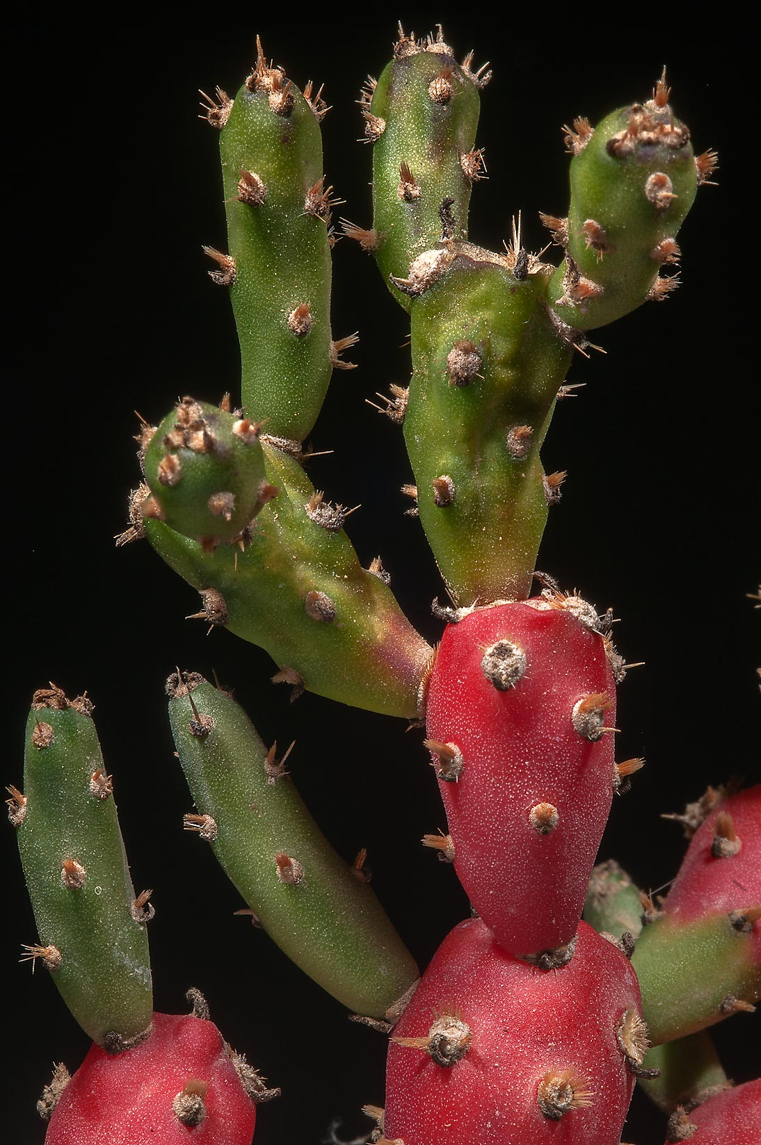 Tasajillo (Cylindropuntia) cactus taken from a...from Milano. College Station, Texas