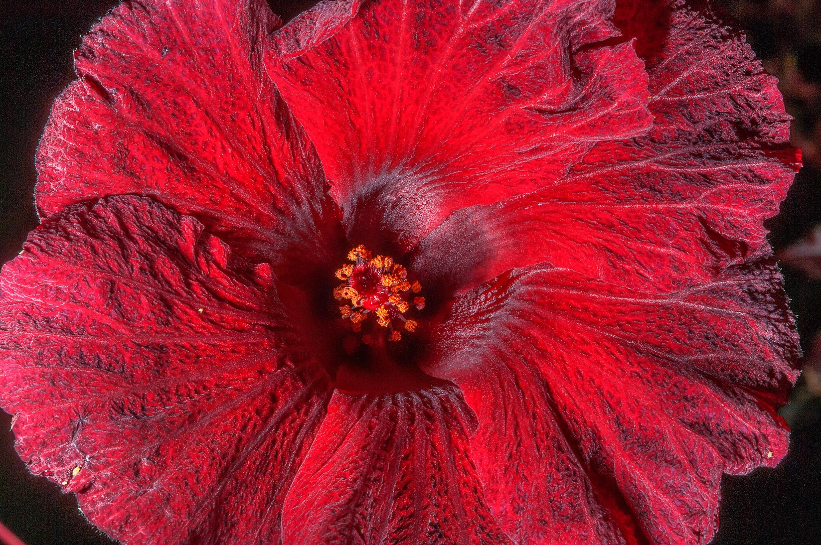 Red hibiscus flower in TAMU Horticultural Gardens...M University. College Station, Texas