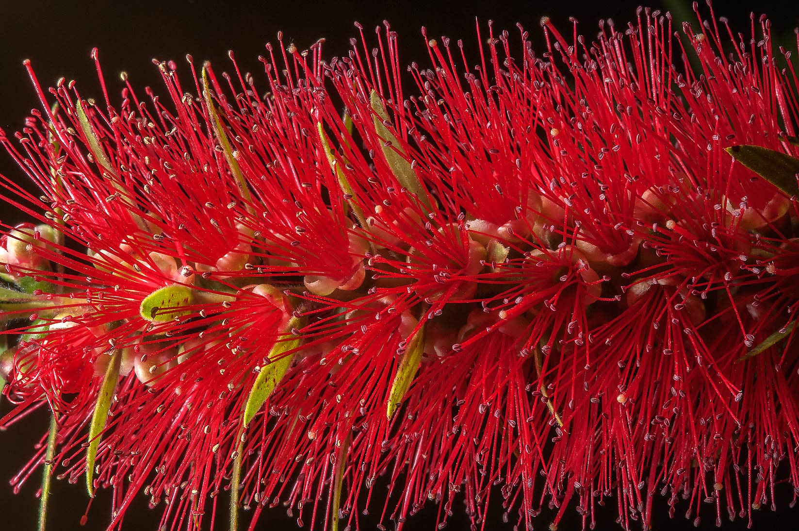 Bottlebrush (Callistemon) in TAMU Horticultural...M University. College Station, Texas