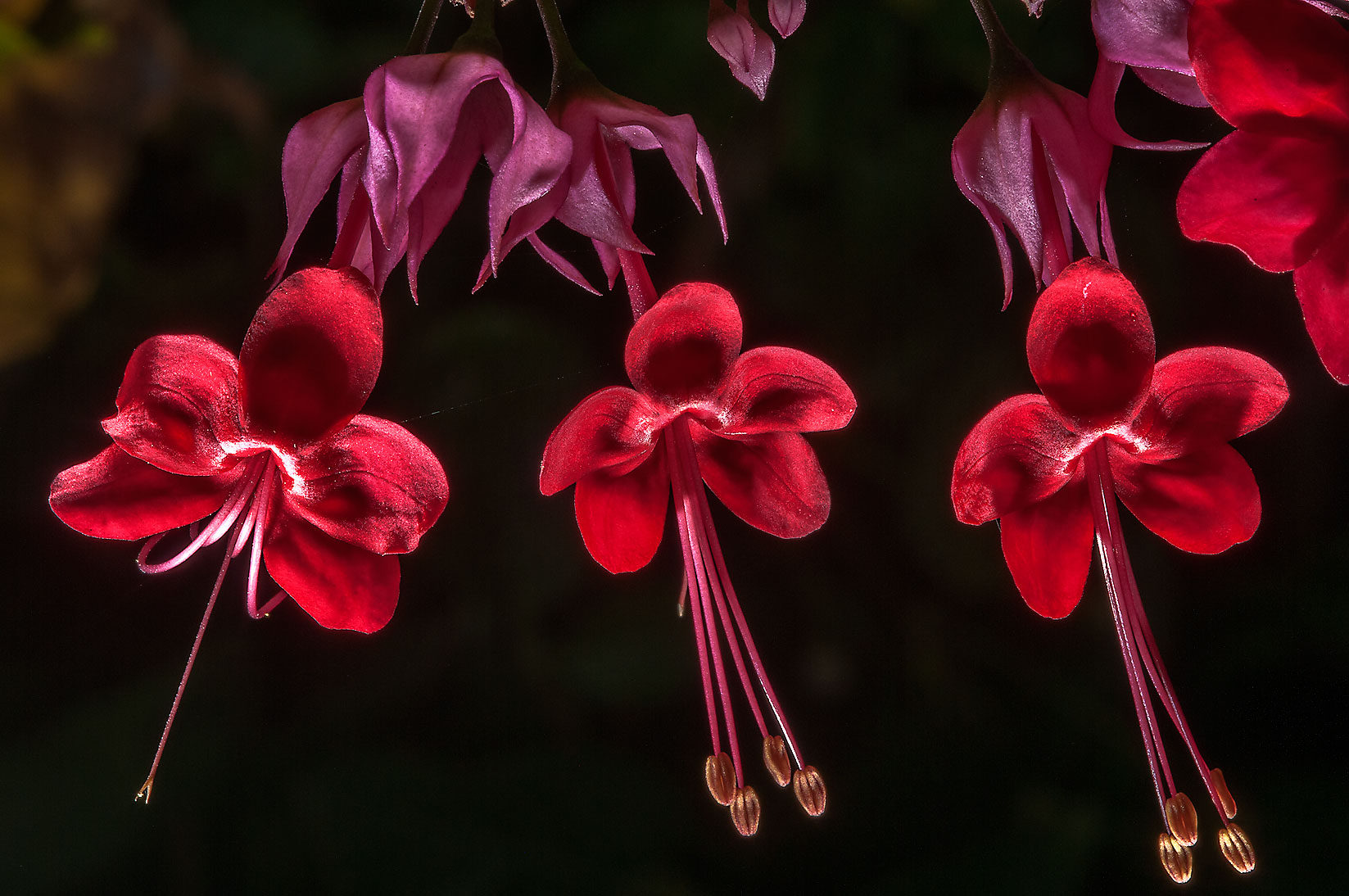Bleeding heart Vine, glory bower (Clerodendrum...M University. College Station, Texas