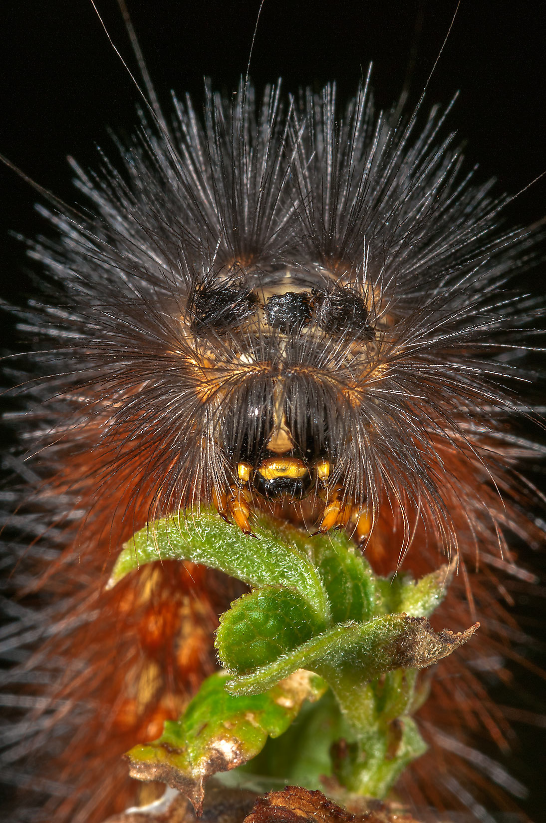 Close up of a feeding salt marsh moth caterpillar...in Lake Bryan Park. Bryan, Texas