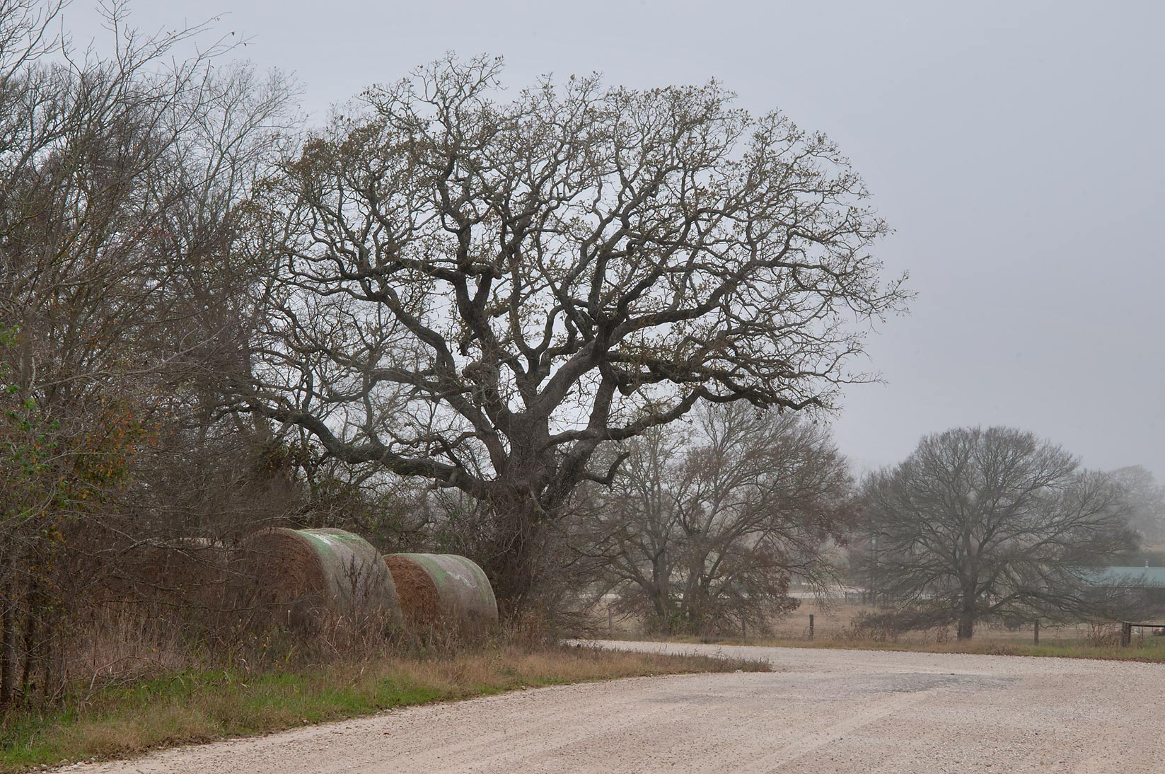 Hay rolls and oak tree at Rd. 180 near Anderson. Texas