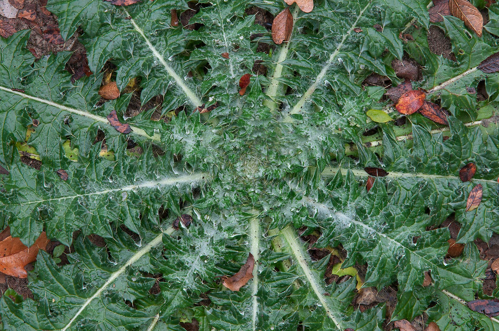 Winter rosette of thistle in Washington Cemetery. Washington, Texas