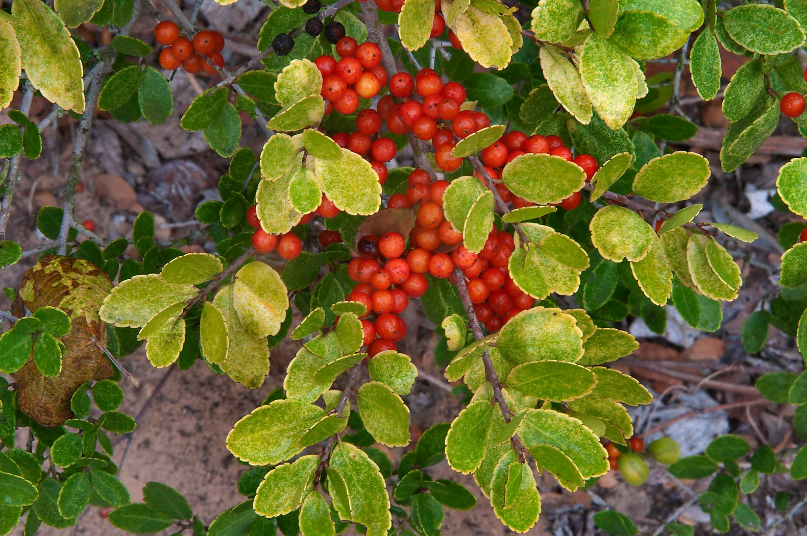 Berries of yaupon holly in Washington-on-the-Brazos State Historic Site. Washington, Texas