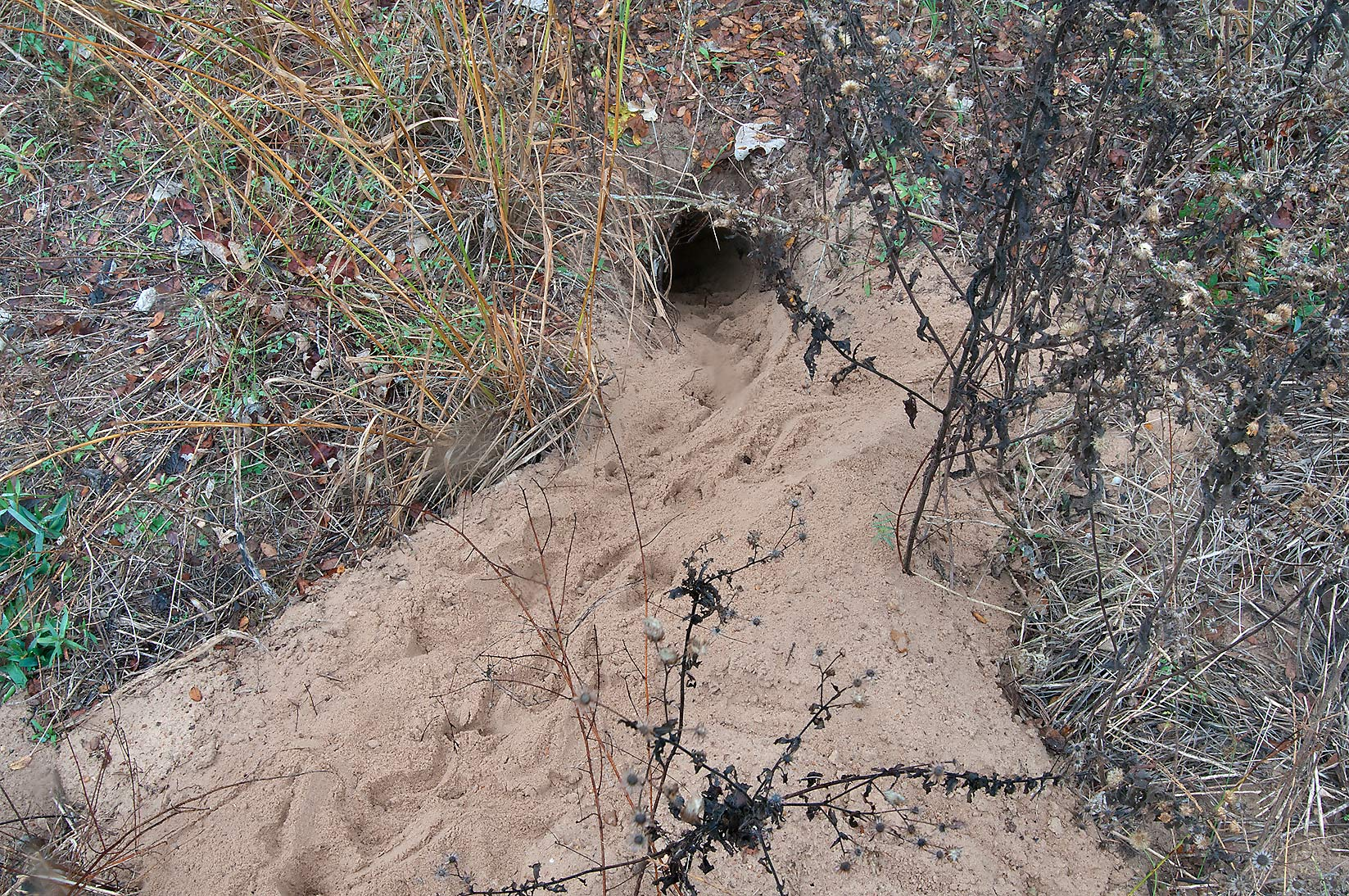 Animal's burrow with tracks of snakes in...State Historic Site. Washington, Texas