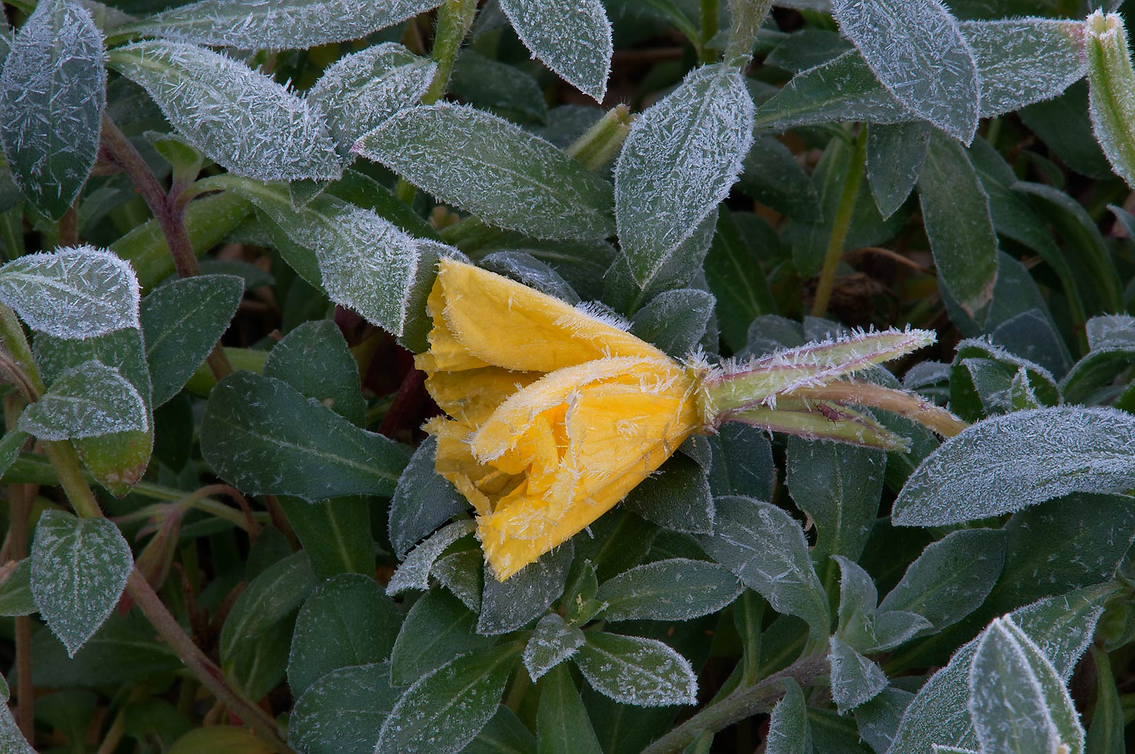 Frozen evening primrose (Oenothera) in TAMU...M University. College Station, Texas