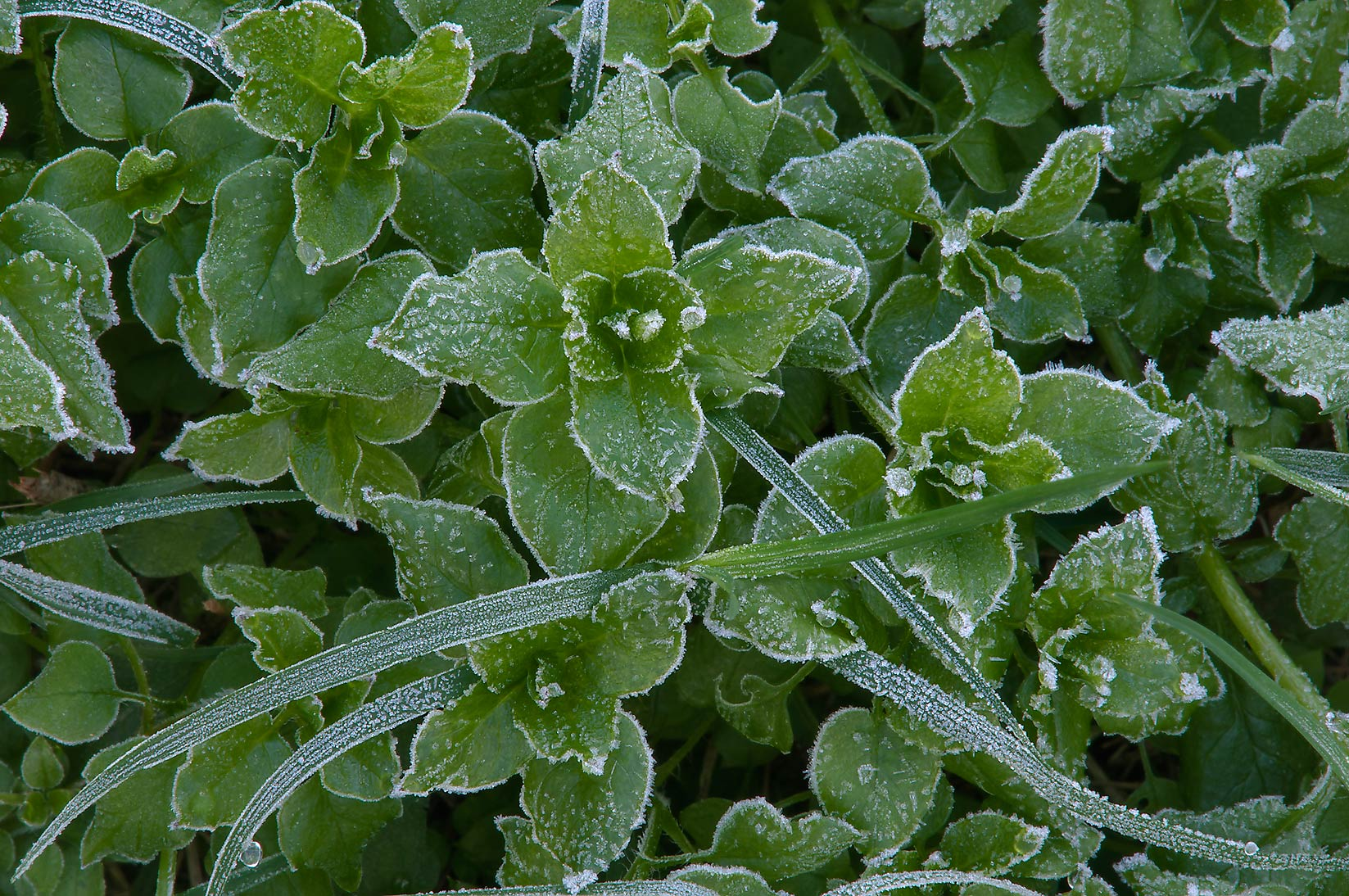 Frozen chickweed (Stellaria) in TAMU...M University. College Station, Texas