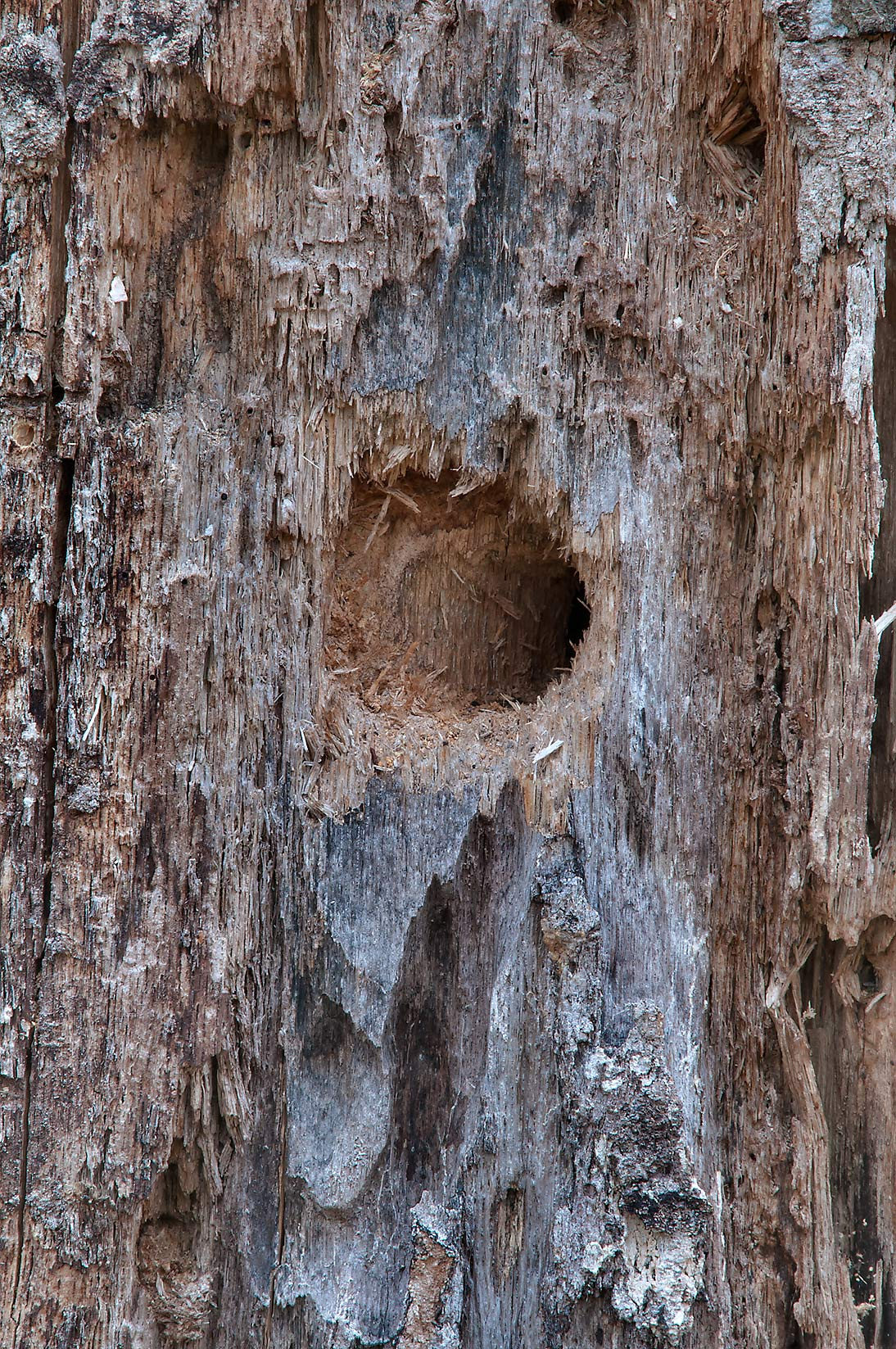 Woodpecker holes in a rotten tree on Raccoon Run...Creek Park. College Station, Texas