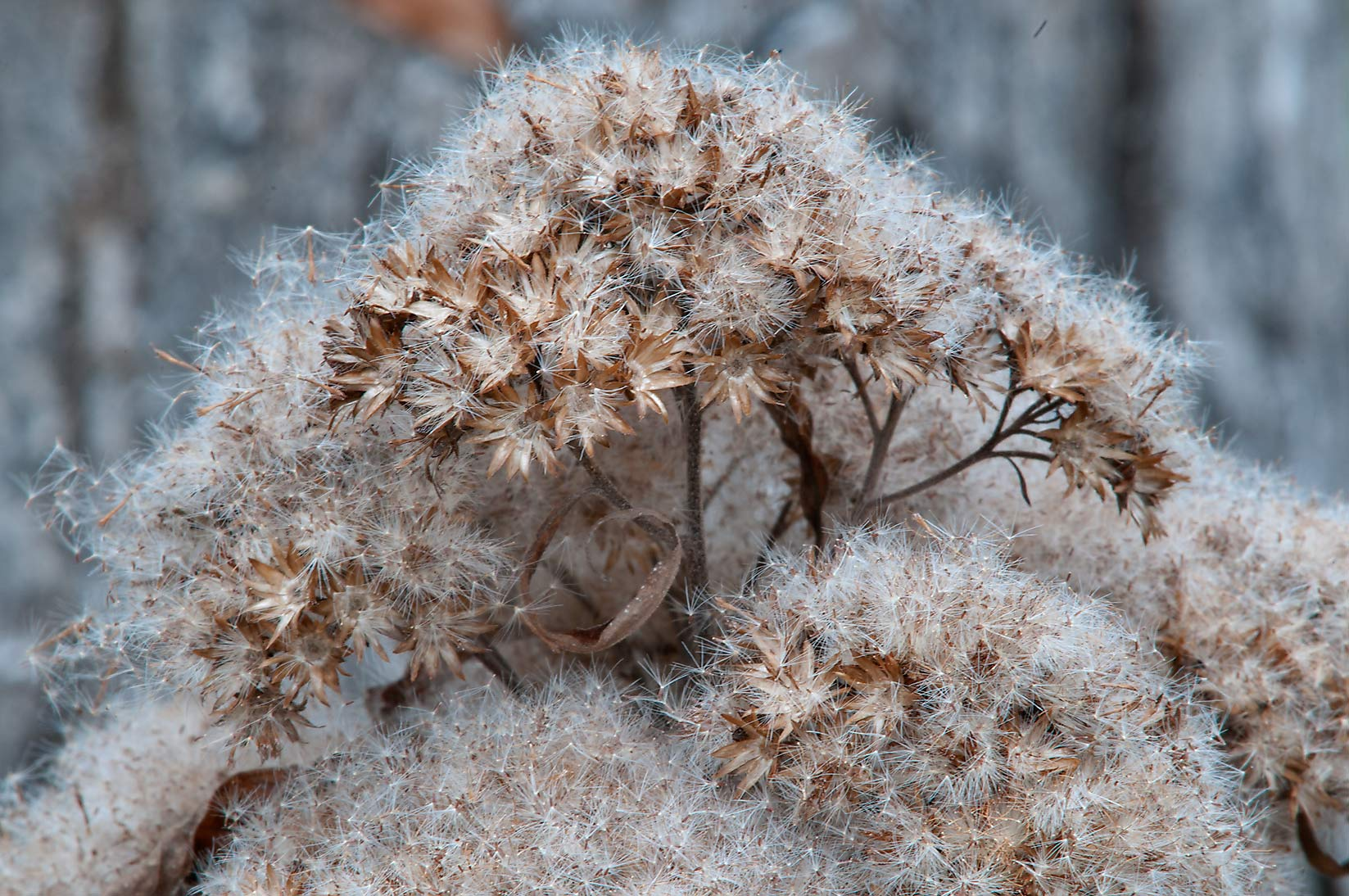 Fluffy seeds of salt-marsh fleabane (Pluchea...Creek Park. College Station, Texas