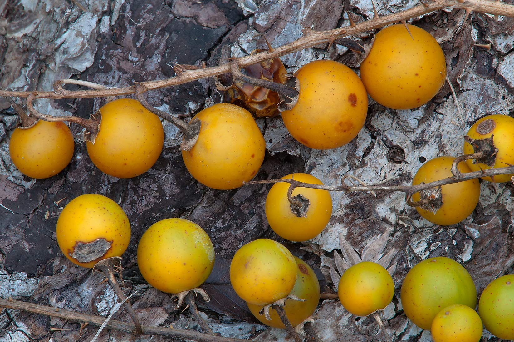 Yellow berries of horsenettle (Solanum...Creek Park. College Station, Texas