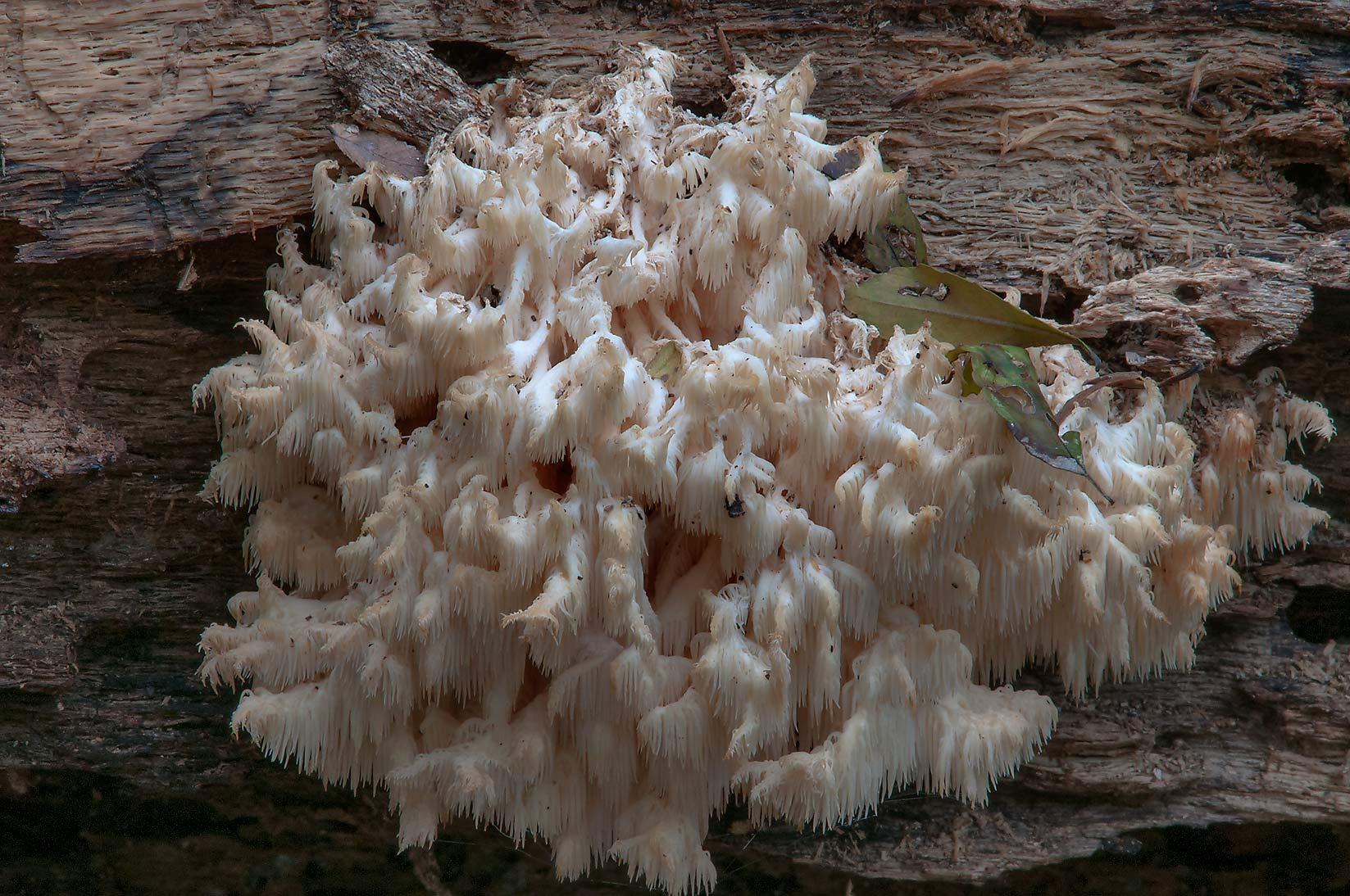 Coral tooth mushroom (comb tooth, Hericium...Creek Park. College Station, Texas