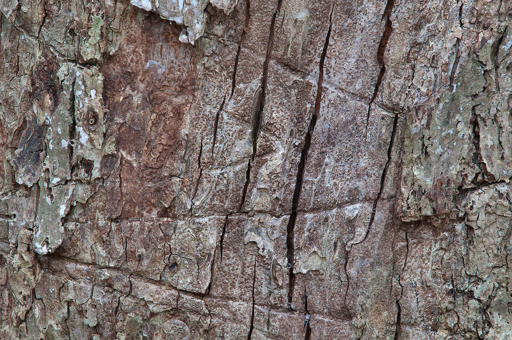 Texture of tree bark in Lick Creek Park. College Station, Texas