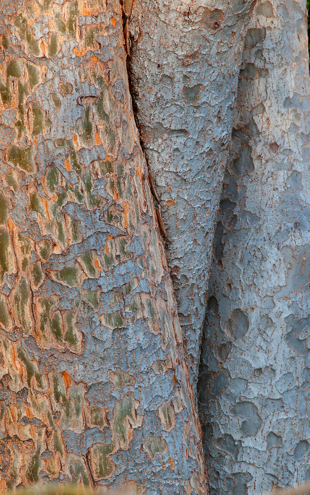 Bark of elm tree in TAMU Horticultural Gardens in...M University. College Station, Texas