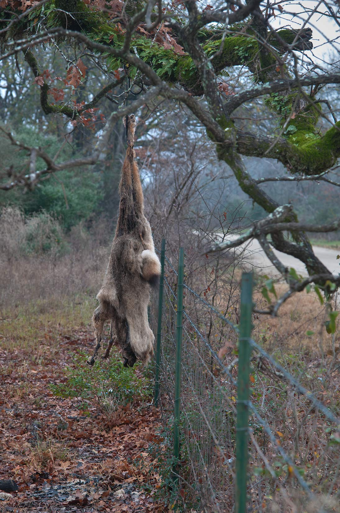 Animal hanging from oak tree at County Rd. 101 east from Bryan. Texas