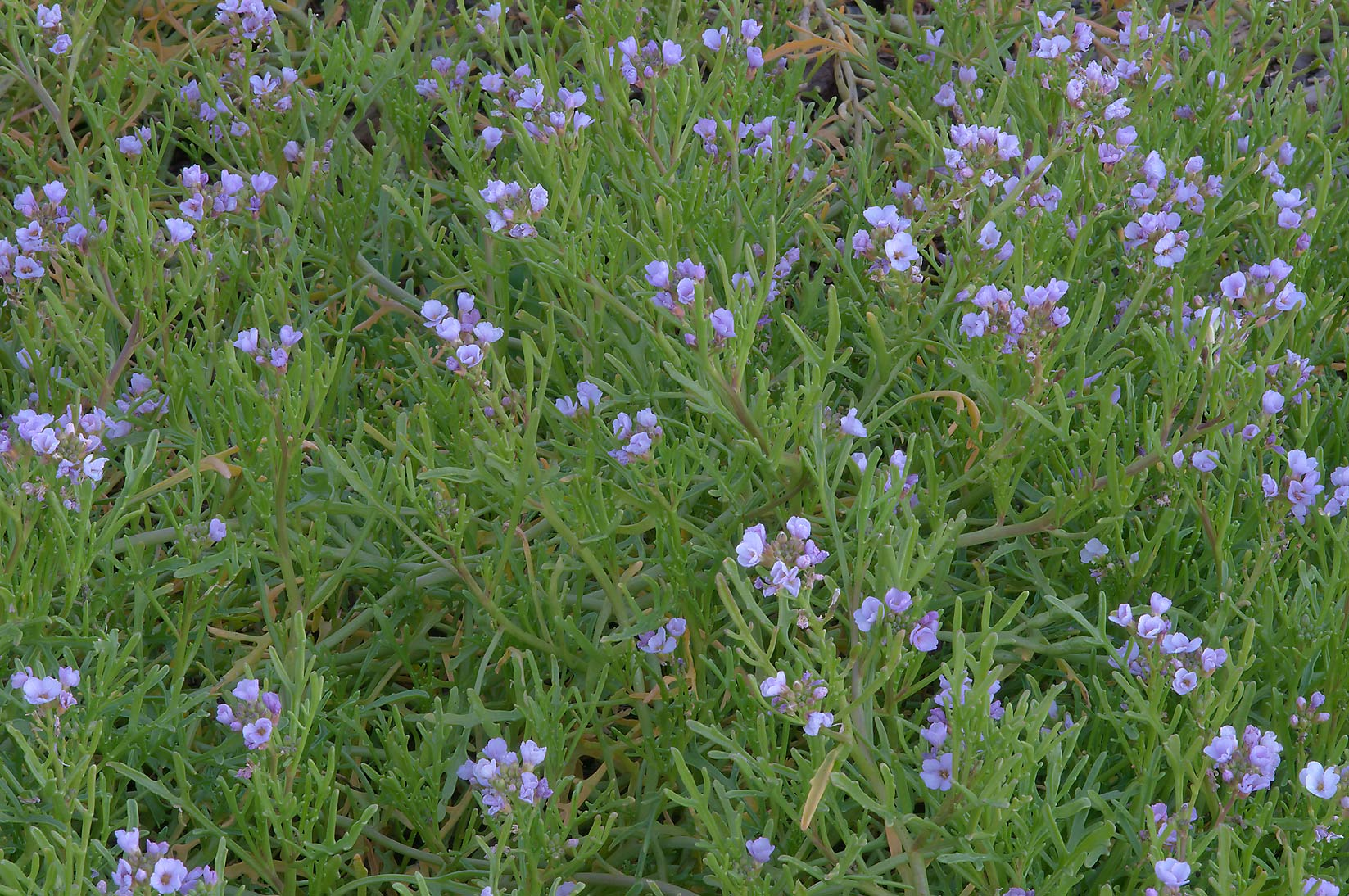 Sea rocket (Cakile maritima) with flowers in TAMU...M University. College Station, Texas