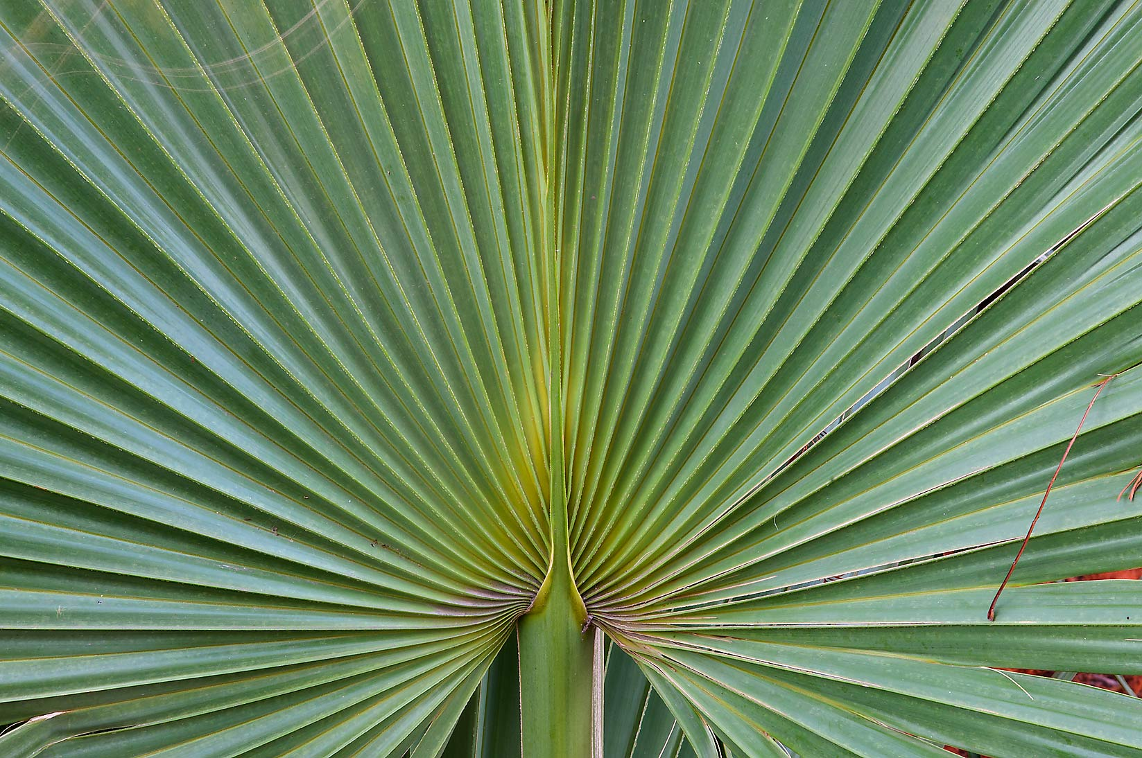 Palm leaf in TAMU Horticultural Gardens in Texas...M University. College Station, Texas