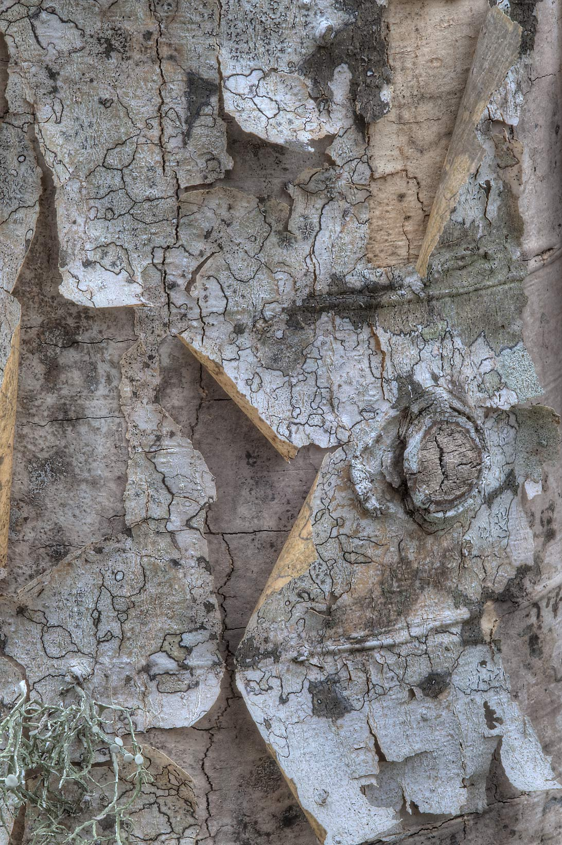Peeling bark of dead hackberry in Washington-on...State Historic Site. Washington, Texas