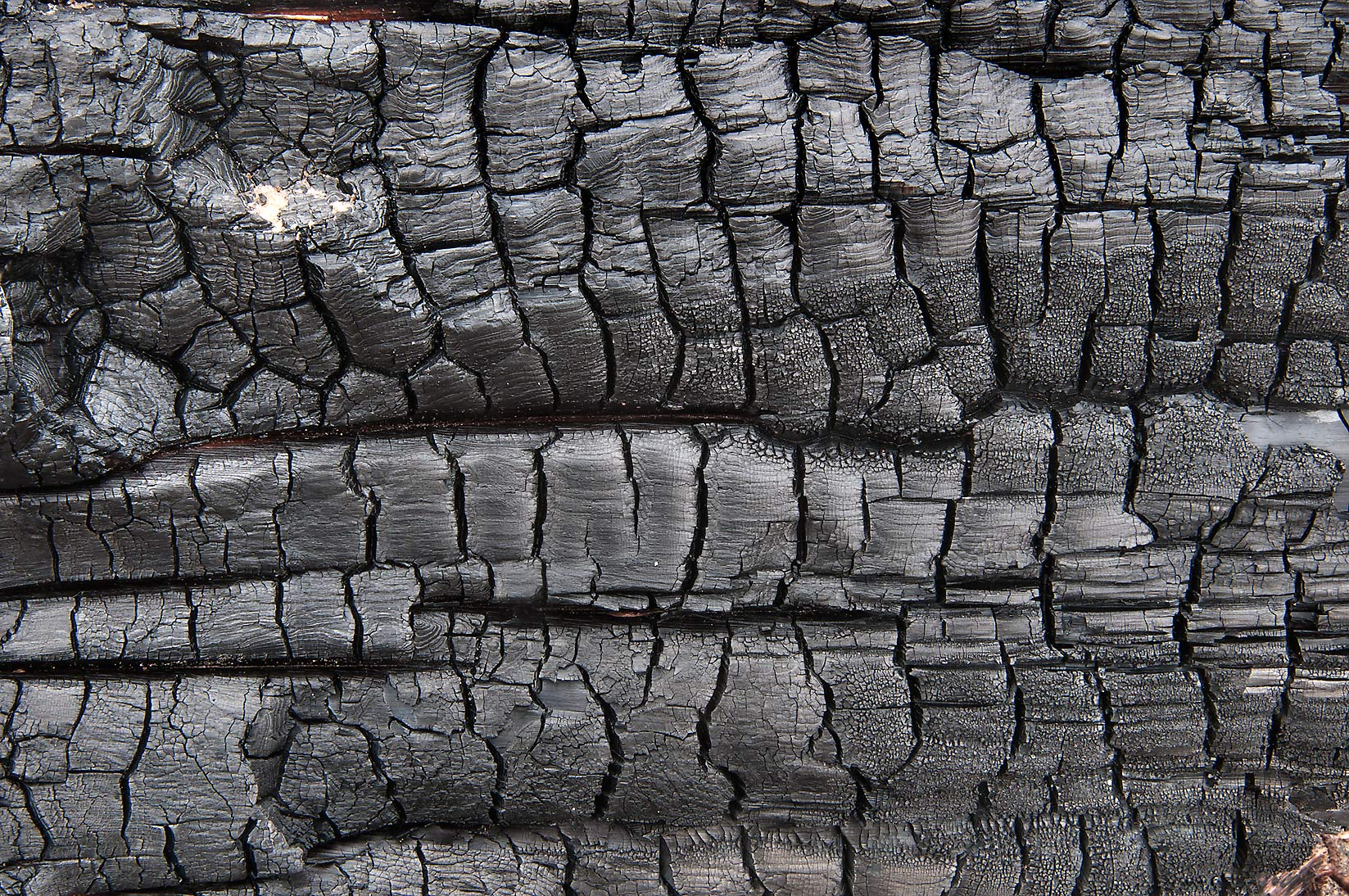 Carbonized wood log in Bastrop State Park. Bastrop, Texas
