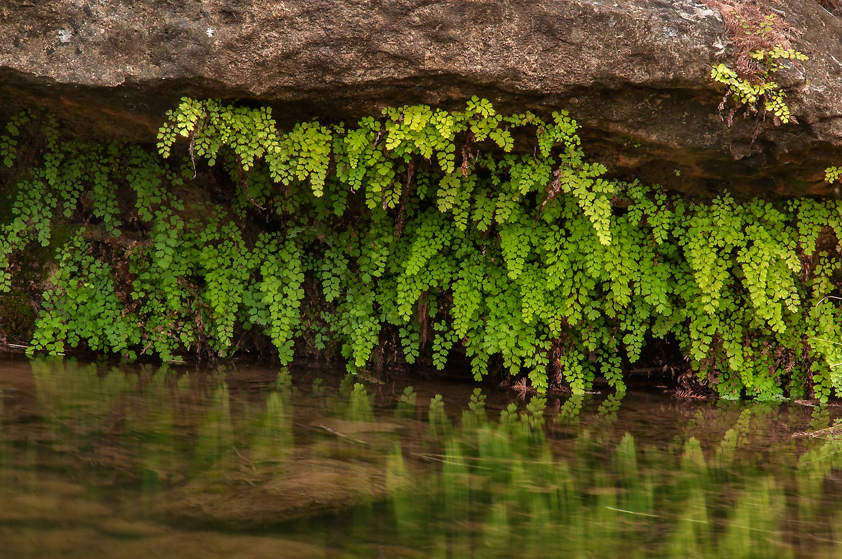 Overhanging Southern Maidenhair Fern (Adiantum...Pool Preserve, west from Austin. Texas