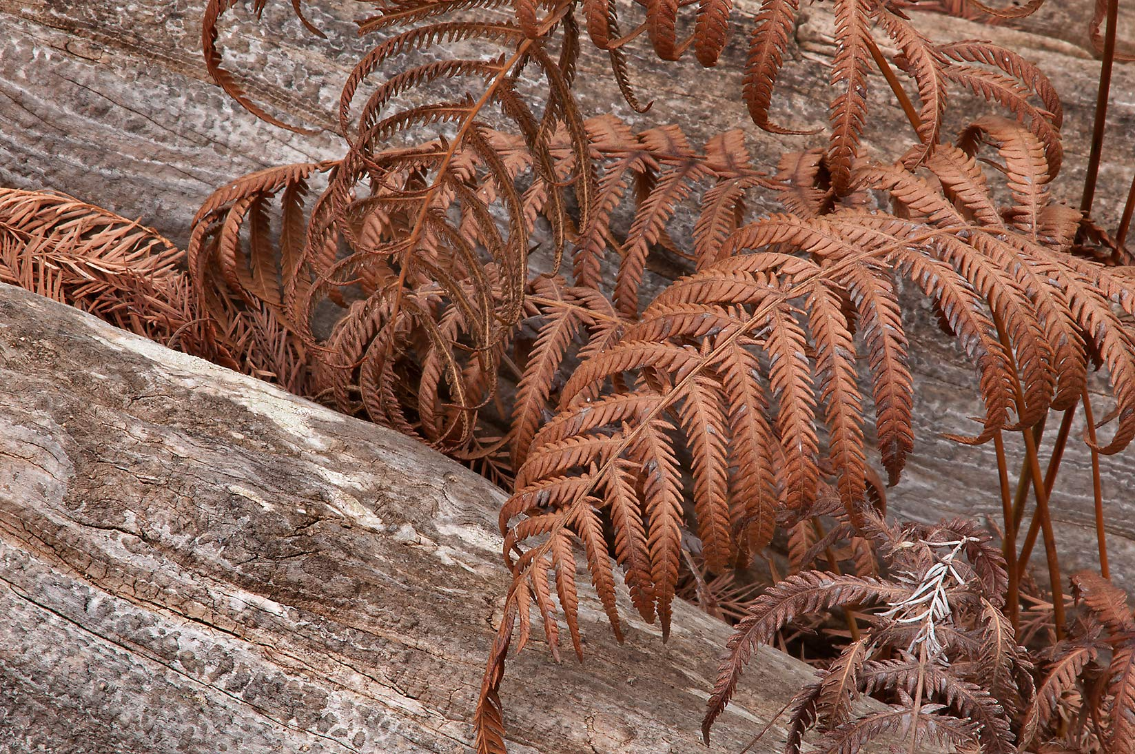 Dry ferns on roots of a dead cypress tree in...Pool Preserve, west from Austin. Texas