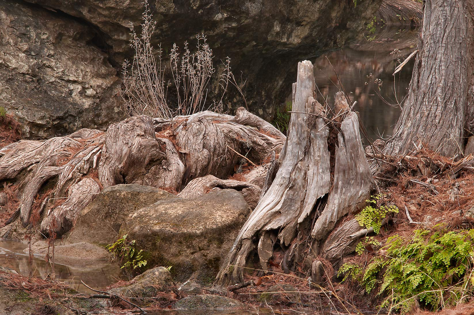 Dry cypress roots in Hamilton Pool Preserve, west from Austin. Texas
