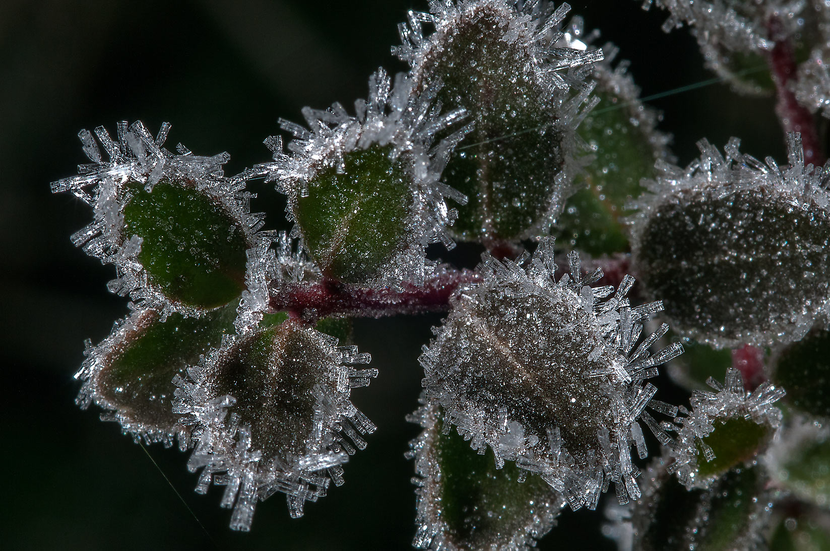 Ice crystals on leaves of yaupon holly (Ilex...Creek Park. College Station, Texas