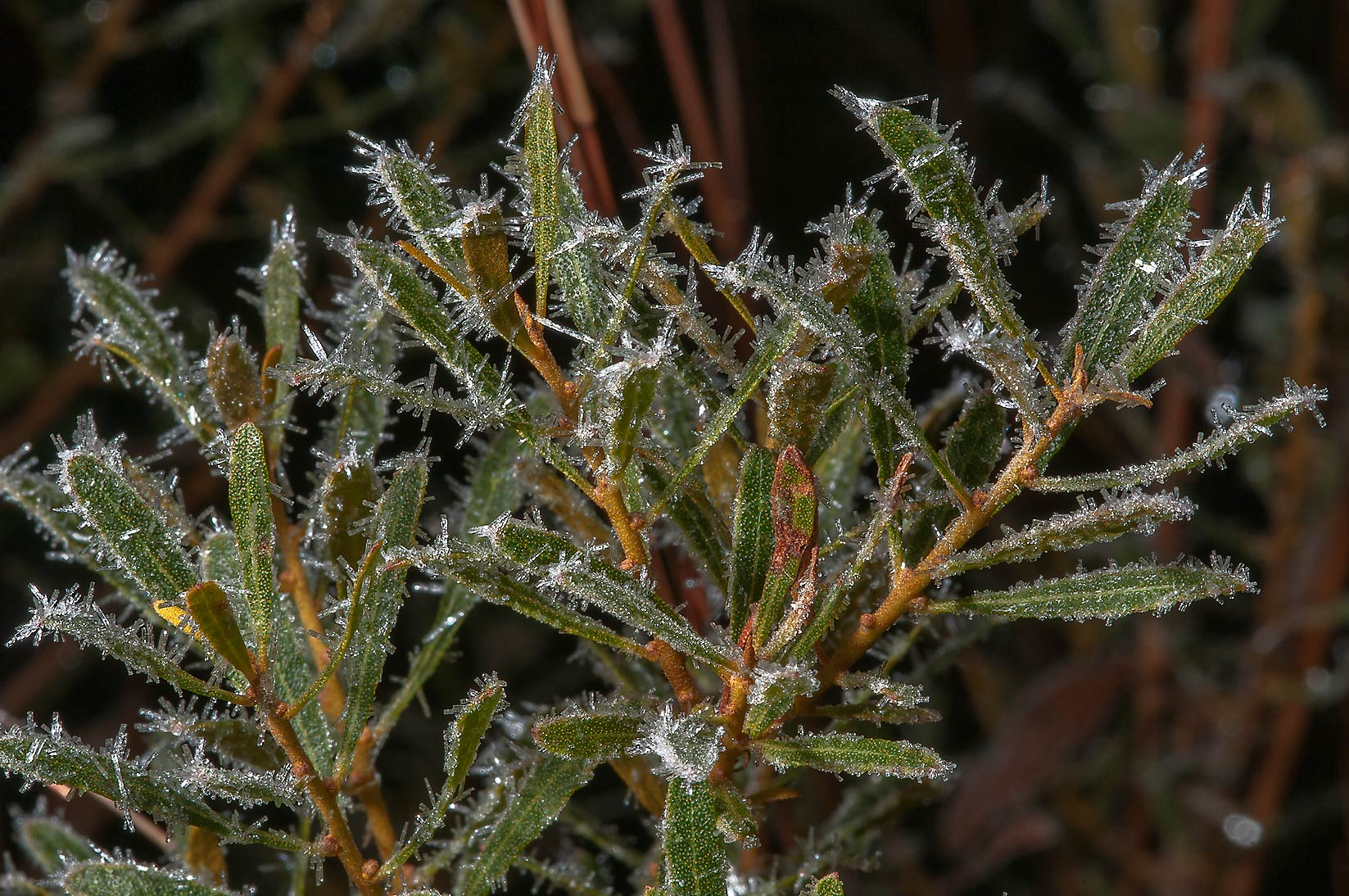 Ice crystals on Southern wax myrtle (Bayberry...Creek Park. College Station, Texas