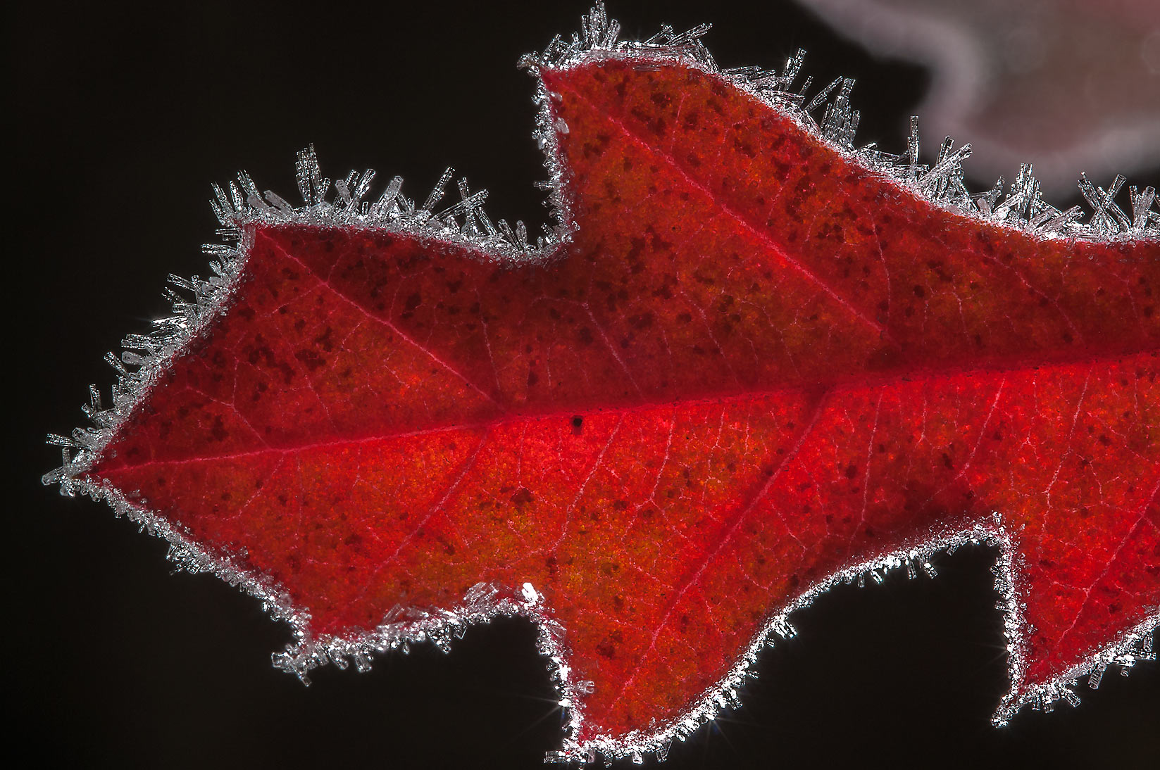 Frost rimmed back lit oak leaf in Lick Creek Park. College Station, Texas