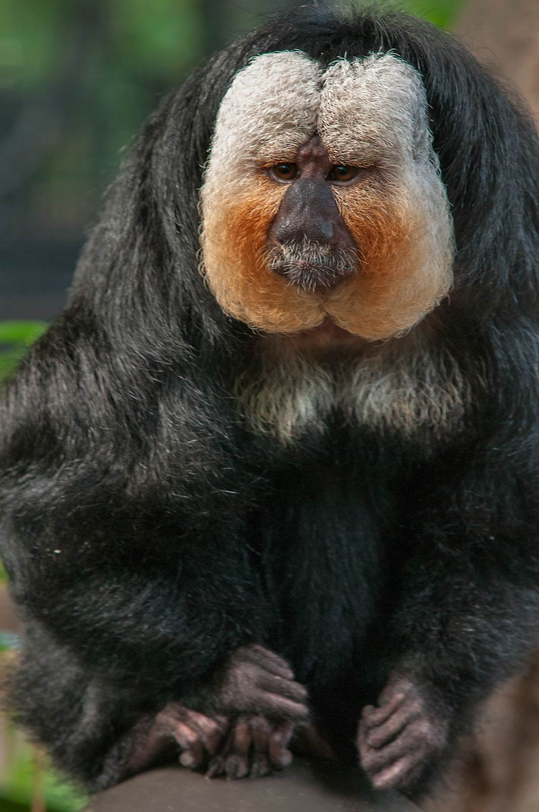 White-face saki monkey (golden-faced saki...of Moody Gardens. Galveston, Texas