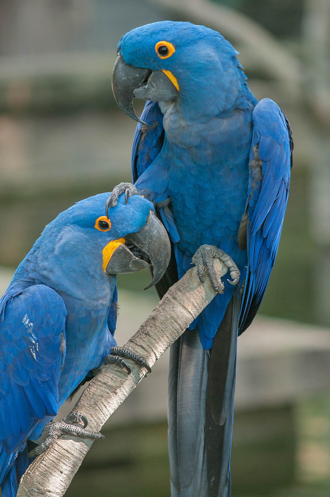 Pair of blue parrots in Rainforest Pyramid of Moody Gardens. Galveston, Texas