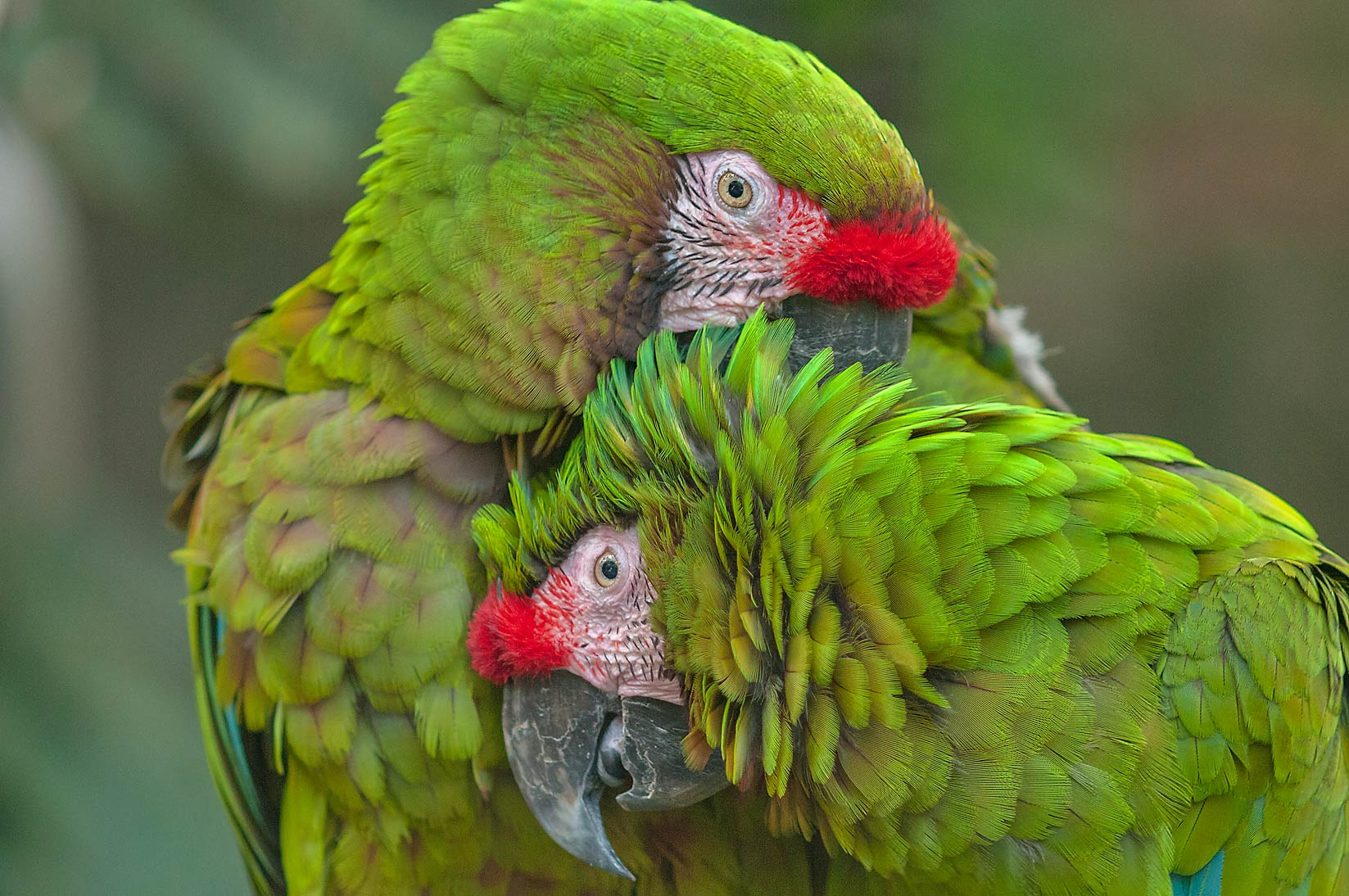 Pair of Cuban Amazon parrots in Rainforest Pyramid of Moody Gardens. Galveston, Texas