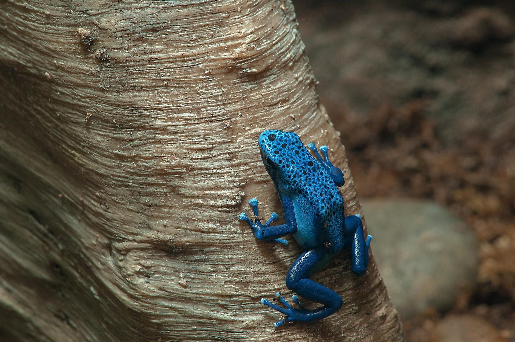 Blue tree frog in Rainforest Pyramid of Moody Gardens. Galveston, Texas