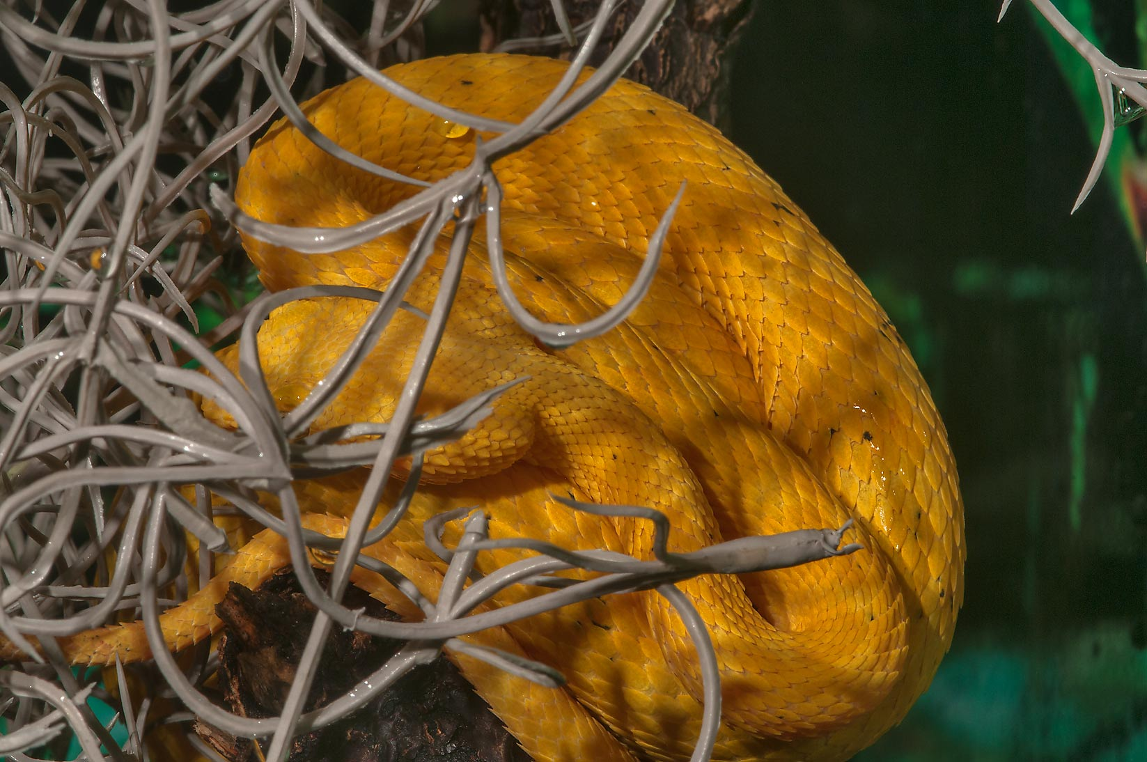 Photo 1135-10: Yellow snake in Rainforest Pyramid of Moody Gardens ...