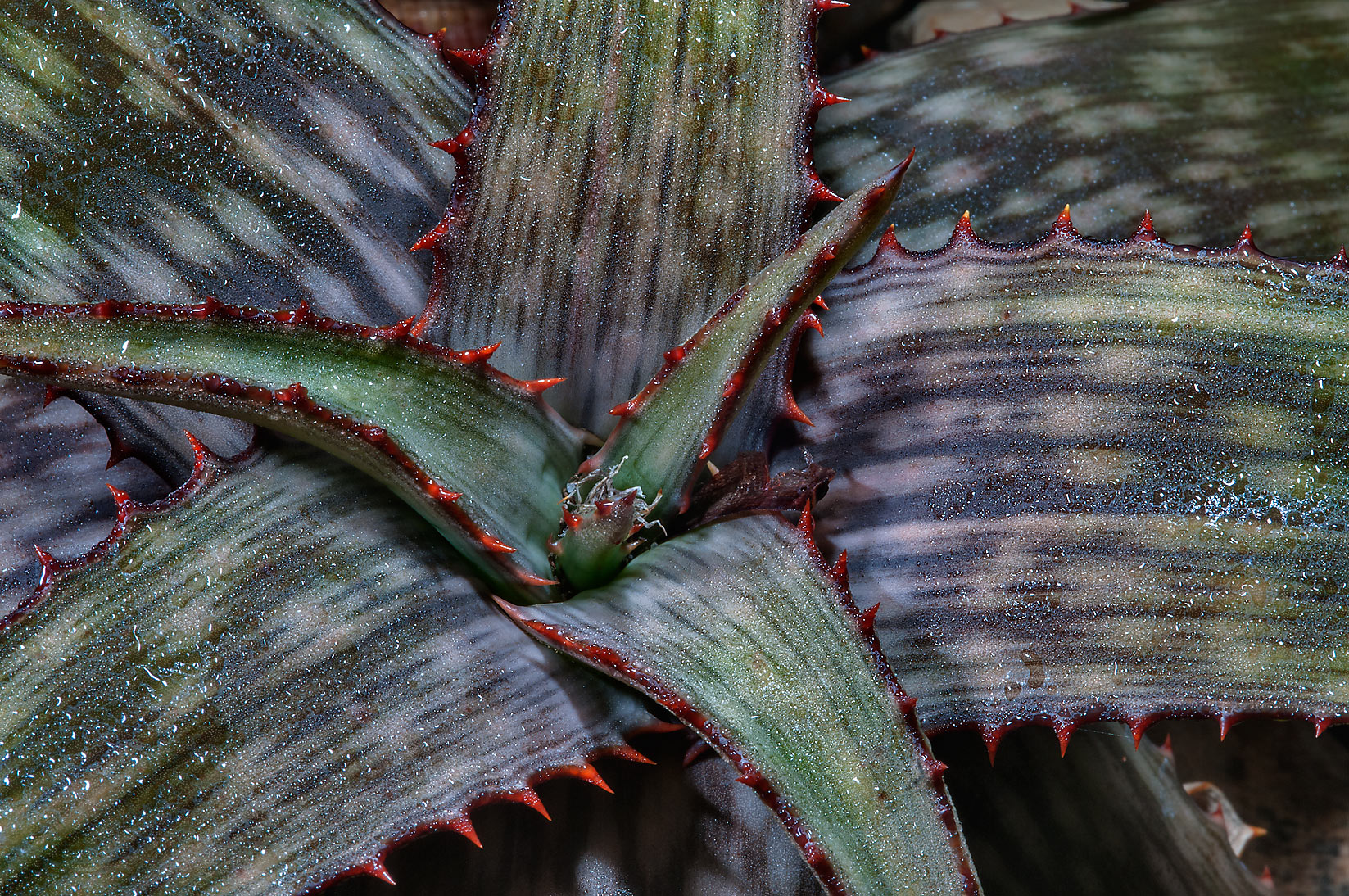 Aloe harlana in Mercer Arboretum and Botanical Gardens. Humble (Houston area), Texas