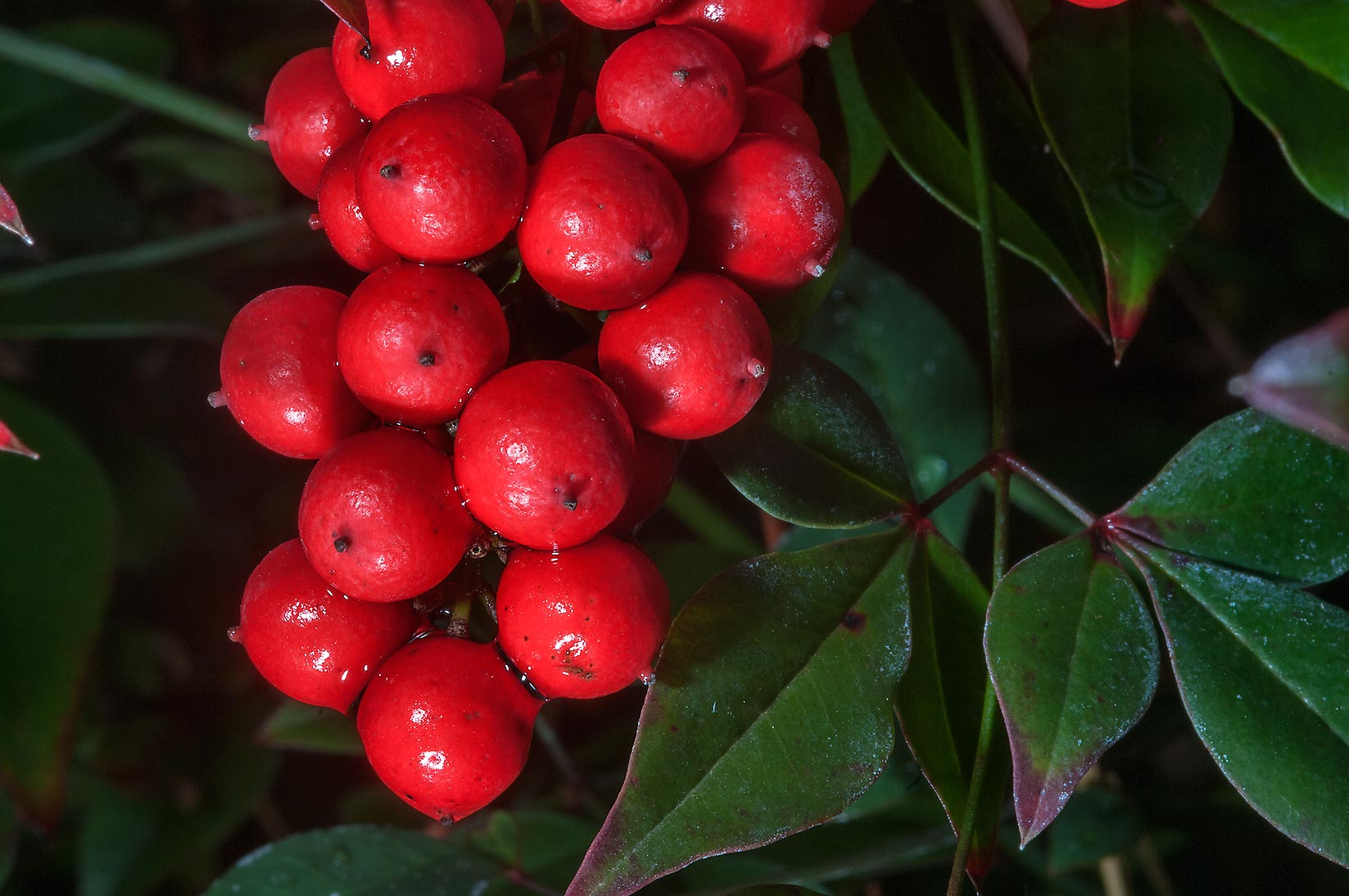 Red berries of heavenly bamboo (Nandina domestica...Gardens. Humble (Houston area), Texas