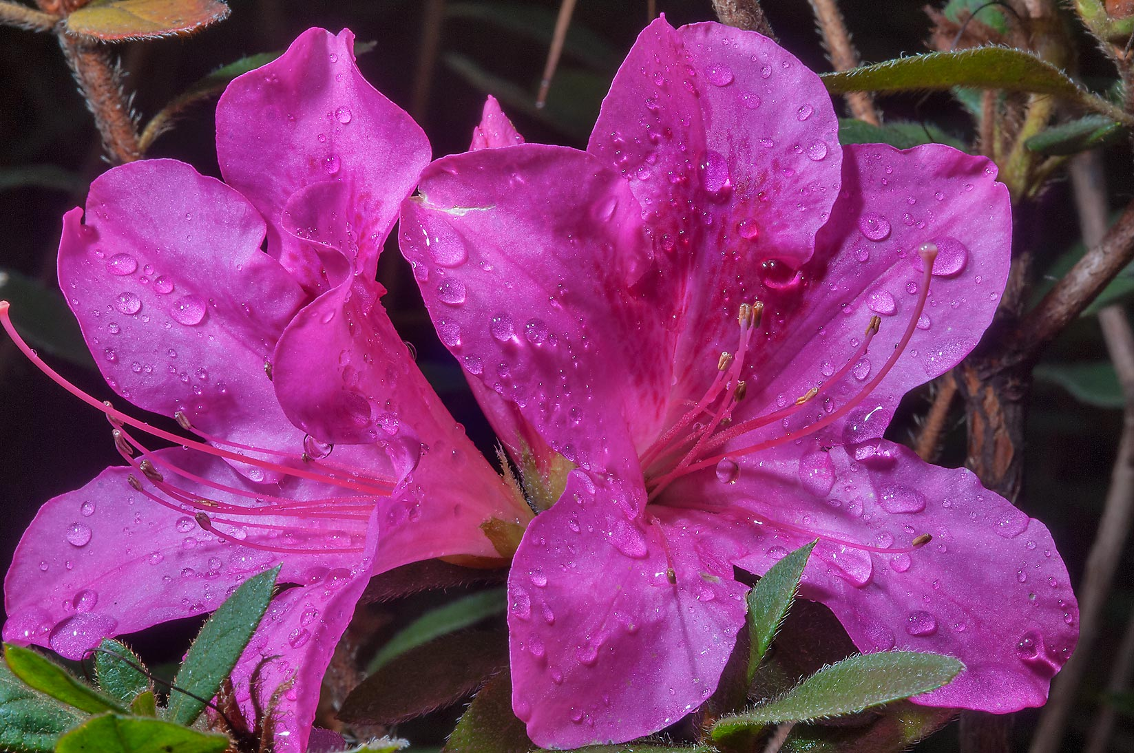 Azalea in Mercer Arboretum and Botanical Gardens. Humble (Houston area), Texas